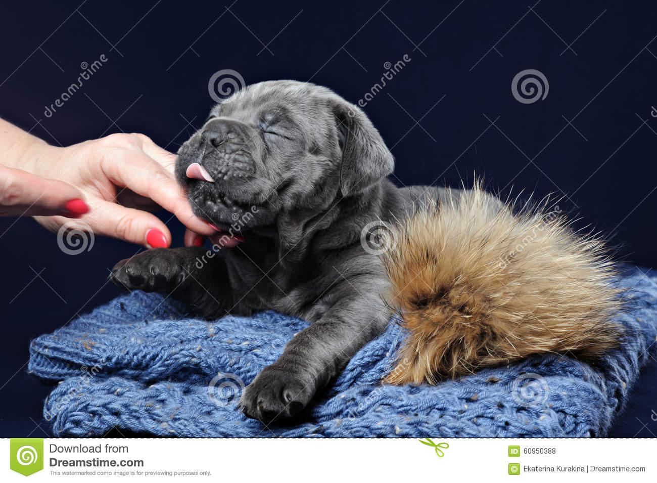 Cane Corso Puppy Stock Photo Image Of Friend Brown 60950388
