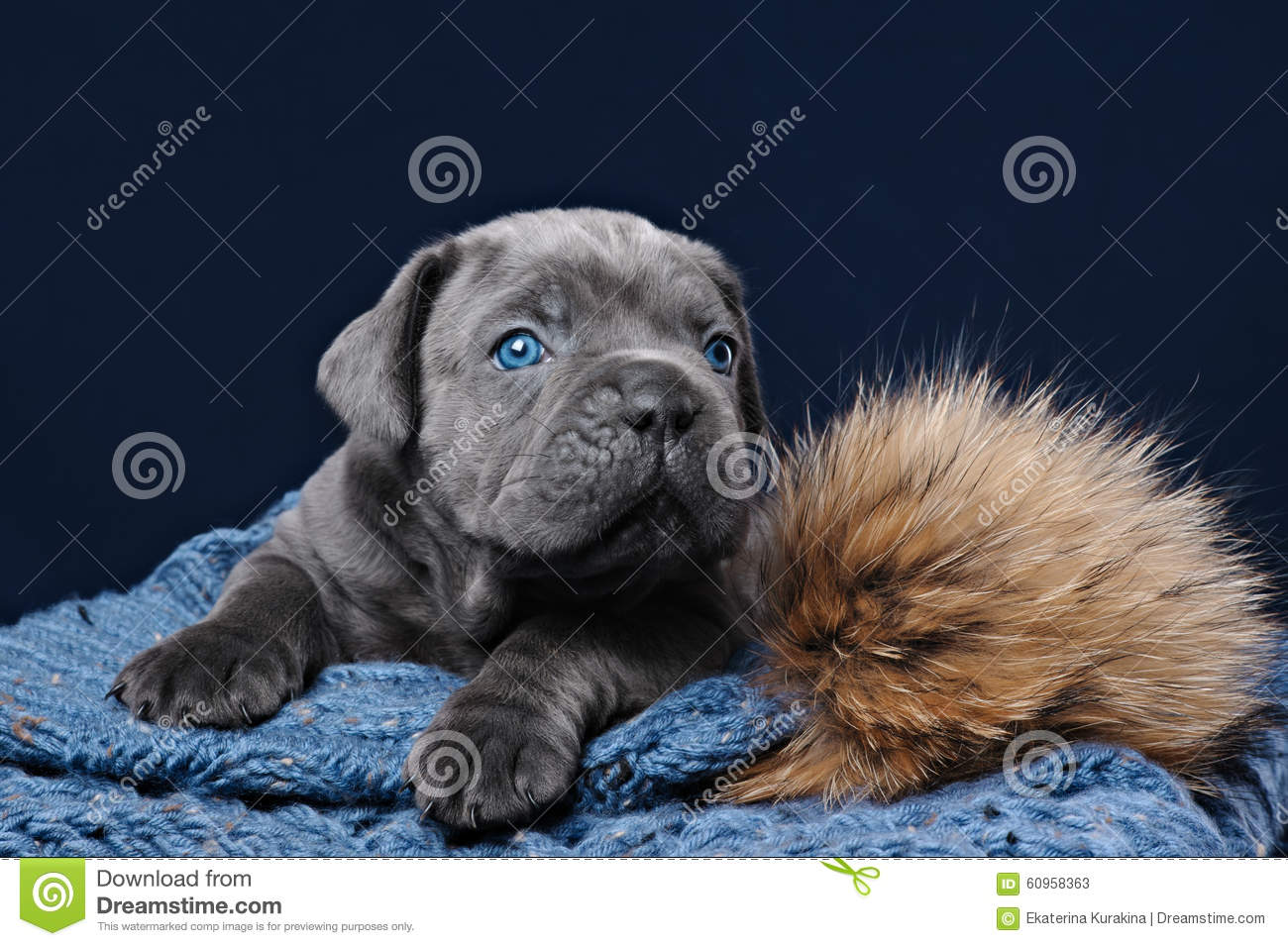 Cane Corso Puppy Stock Image Image Of Cane Blue Down 60958363