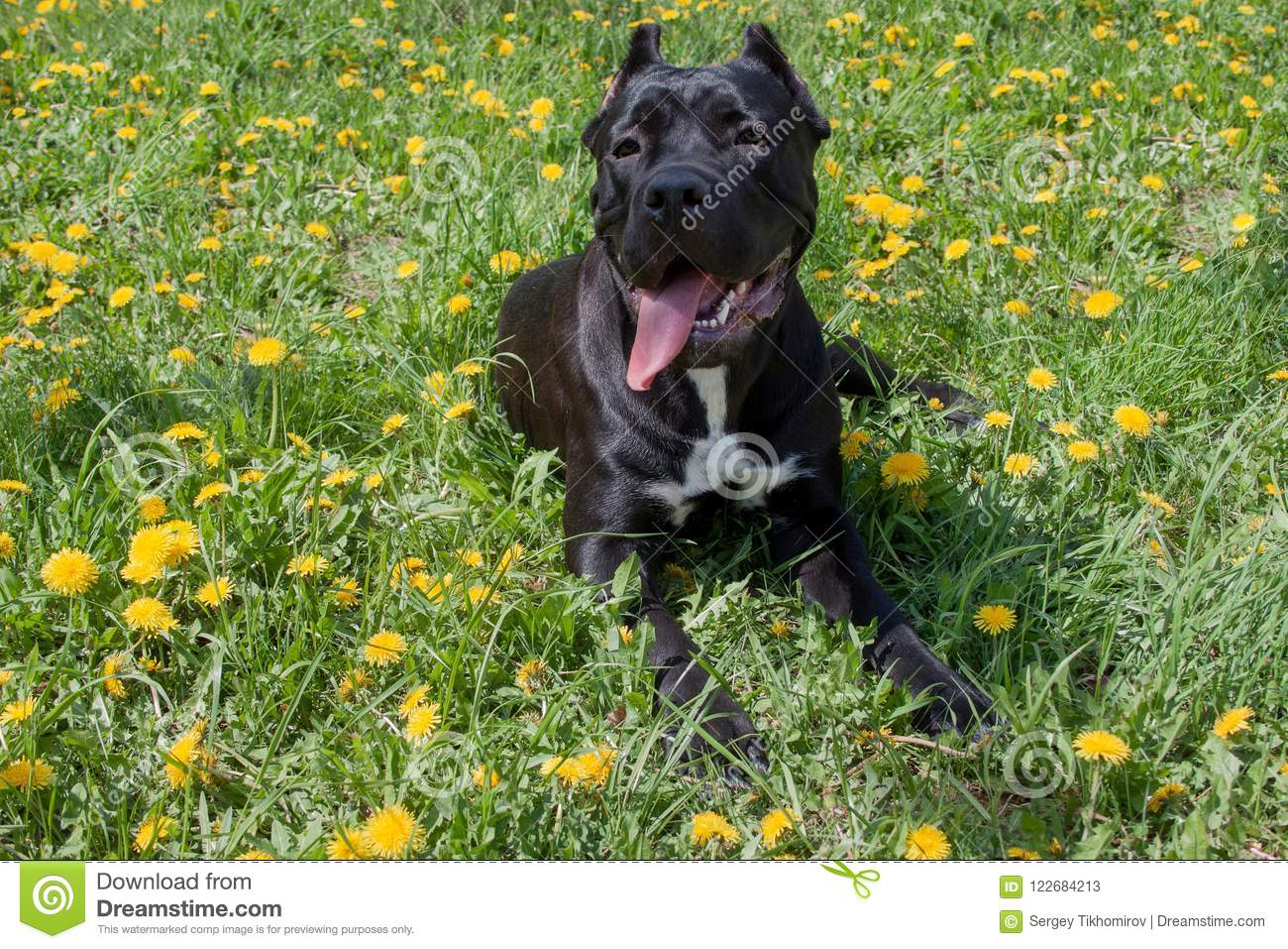 Cane Corso Puppy Is Lying In A Green Grass Cane Corso Italiano Or