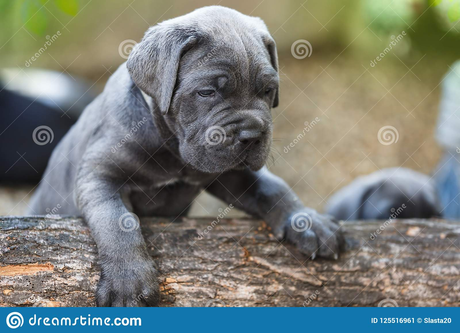 Cane Corso Puppy One Month Old Discovering In The Garden Stock