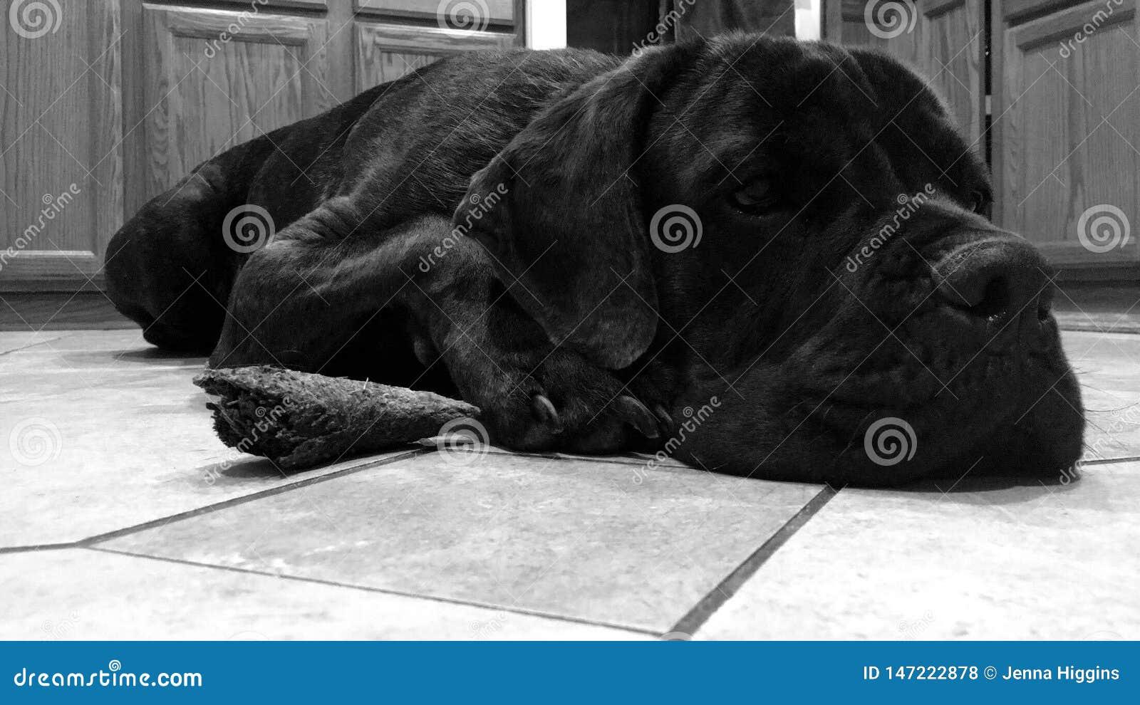 Cane Corso que toma una siesta se relaja con el cuerno