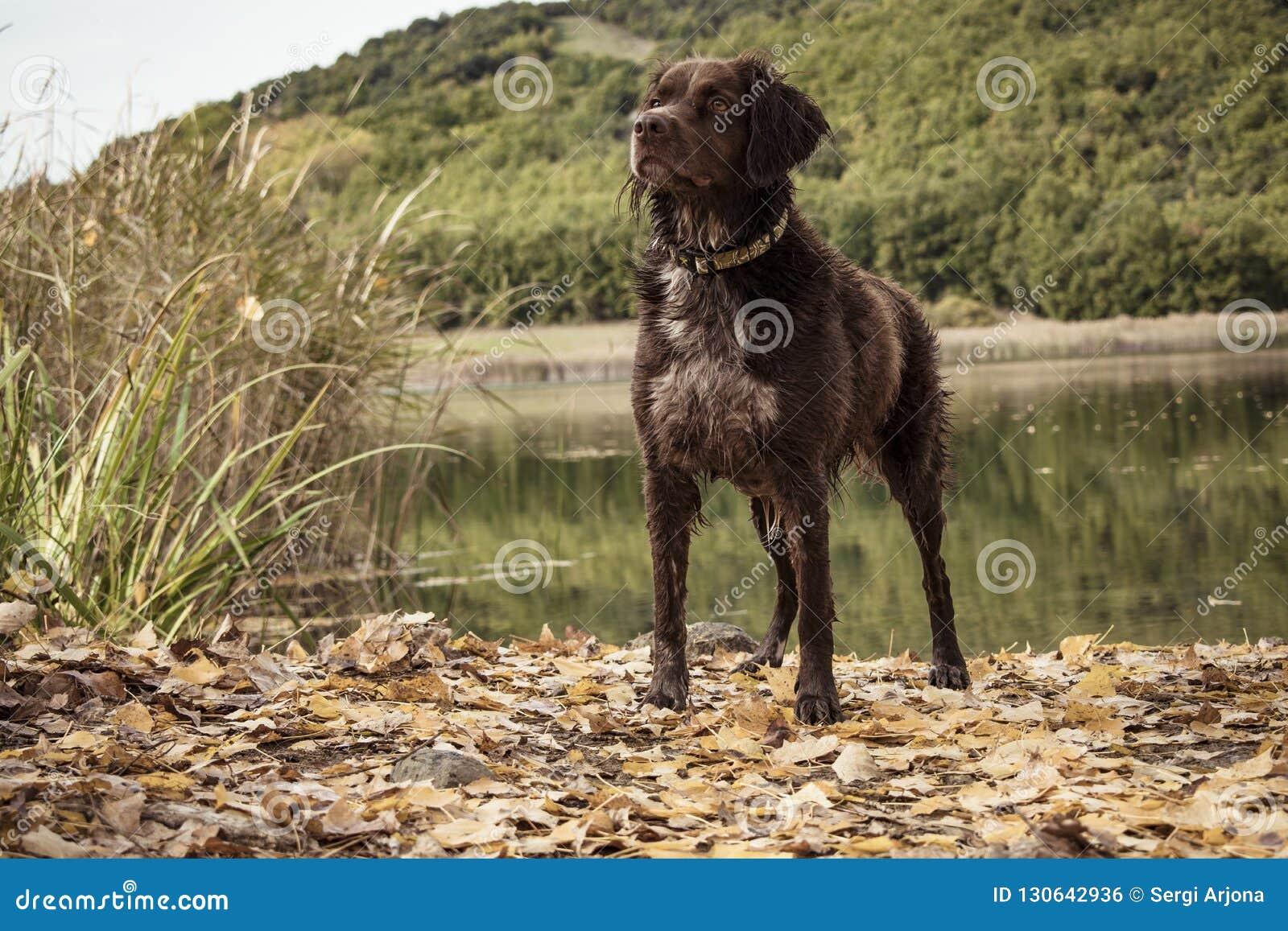 Cane da caccia bretone