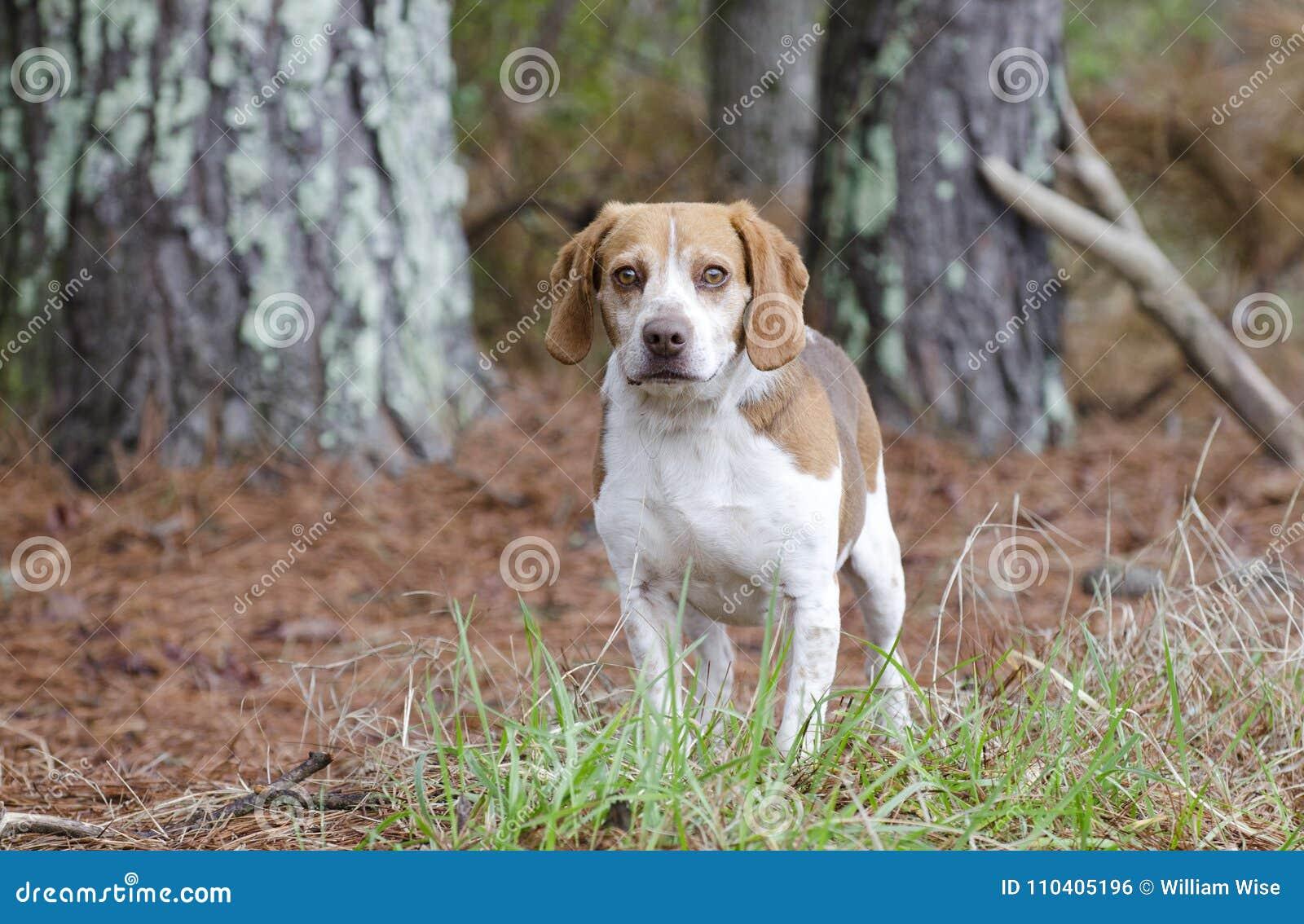 Cane da caccia del coniglio del cane da lepre, Georgia