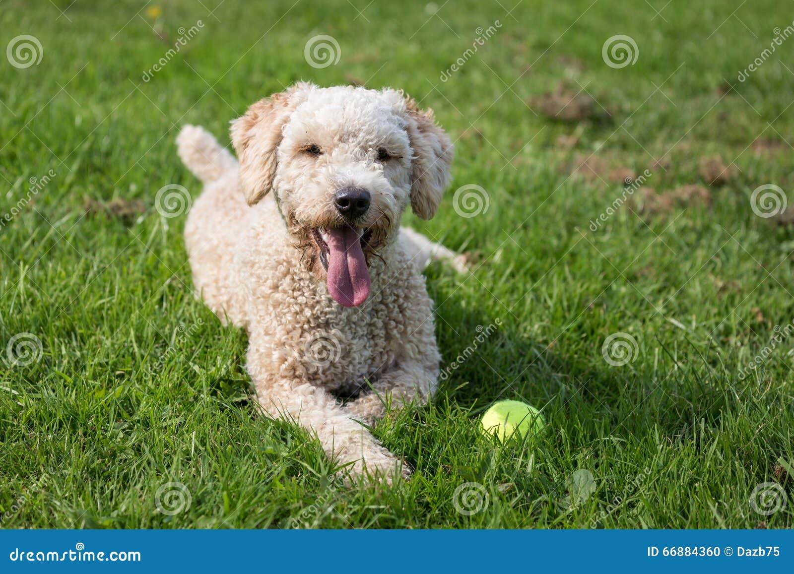 Cane da caccia in palude spagnolo