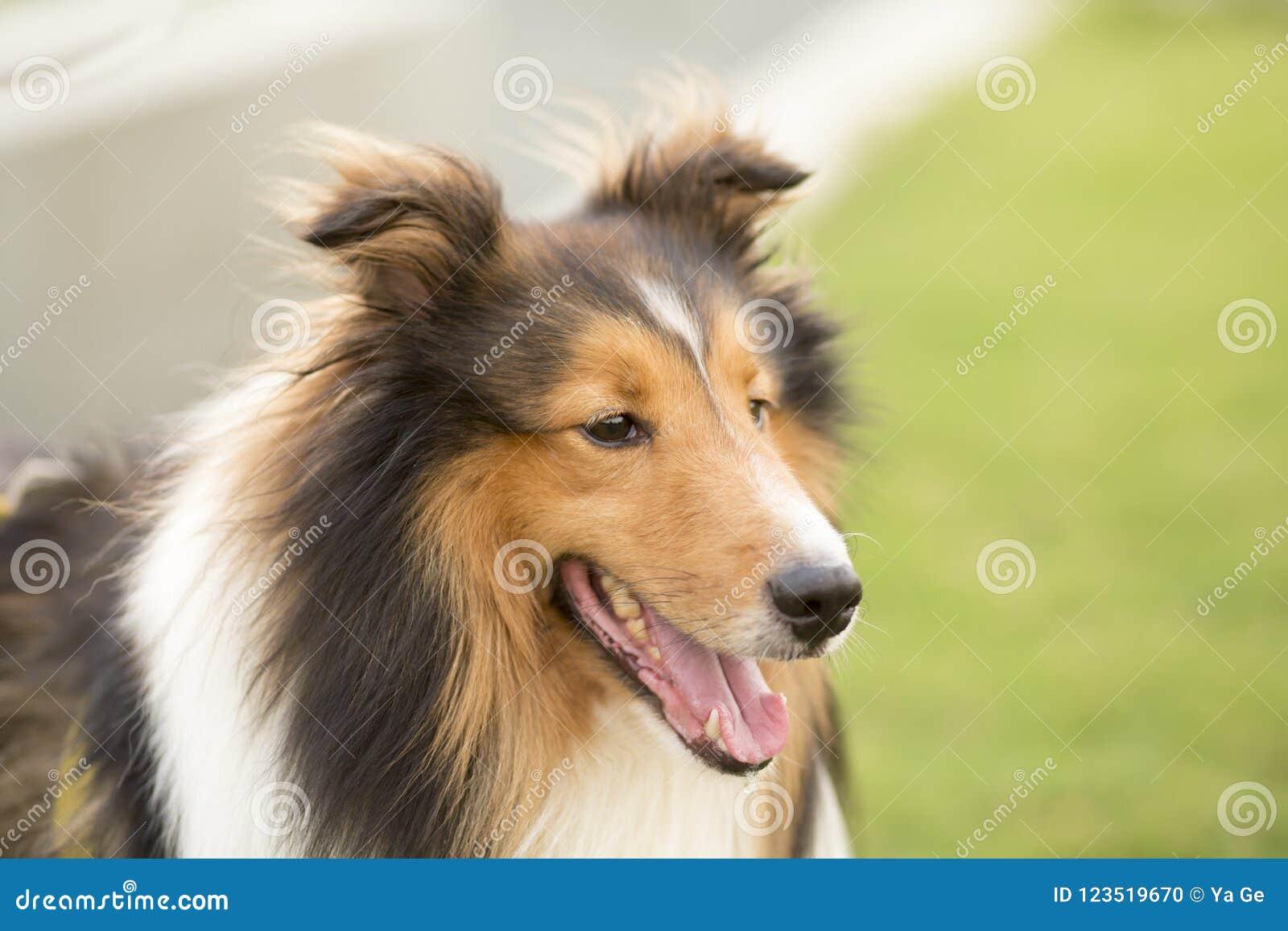 Cane da pastore della Scozia