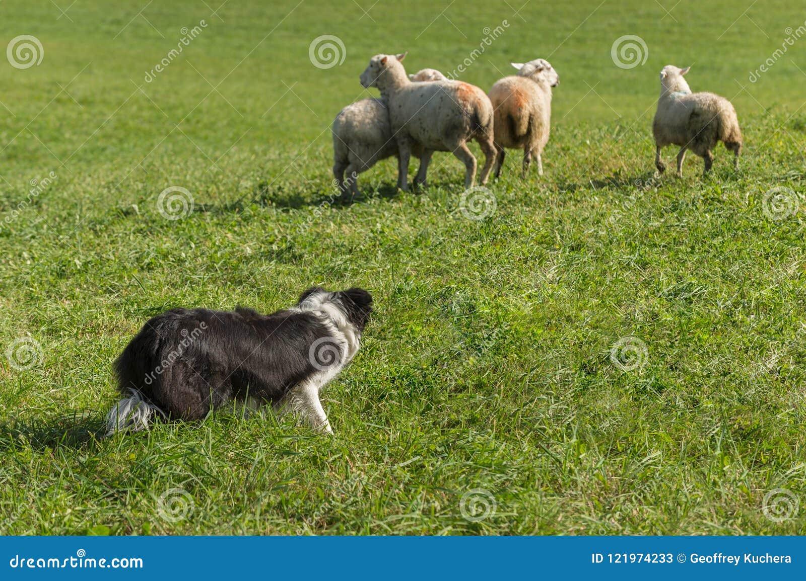 Cane Da Pastore Dietro Il Gruppo Di Ovis Aries Delle Pecore Immagine