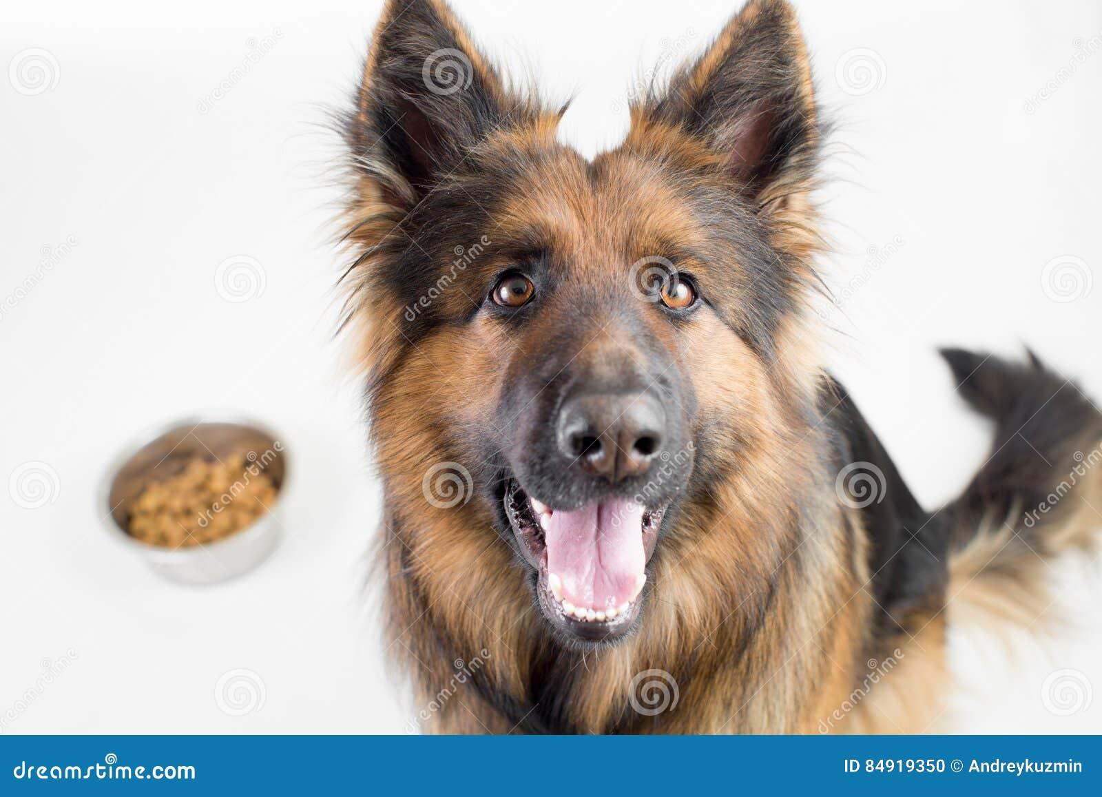 cane dai capelli lunghi del pastore tedesco che si siede vicino alla