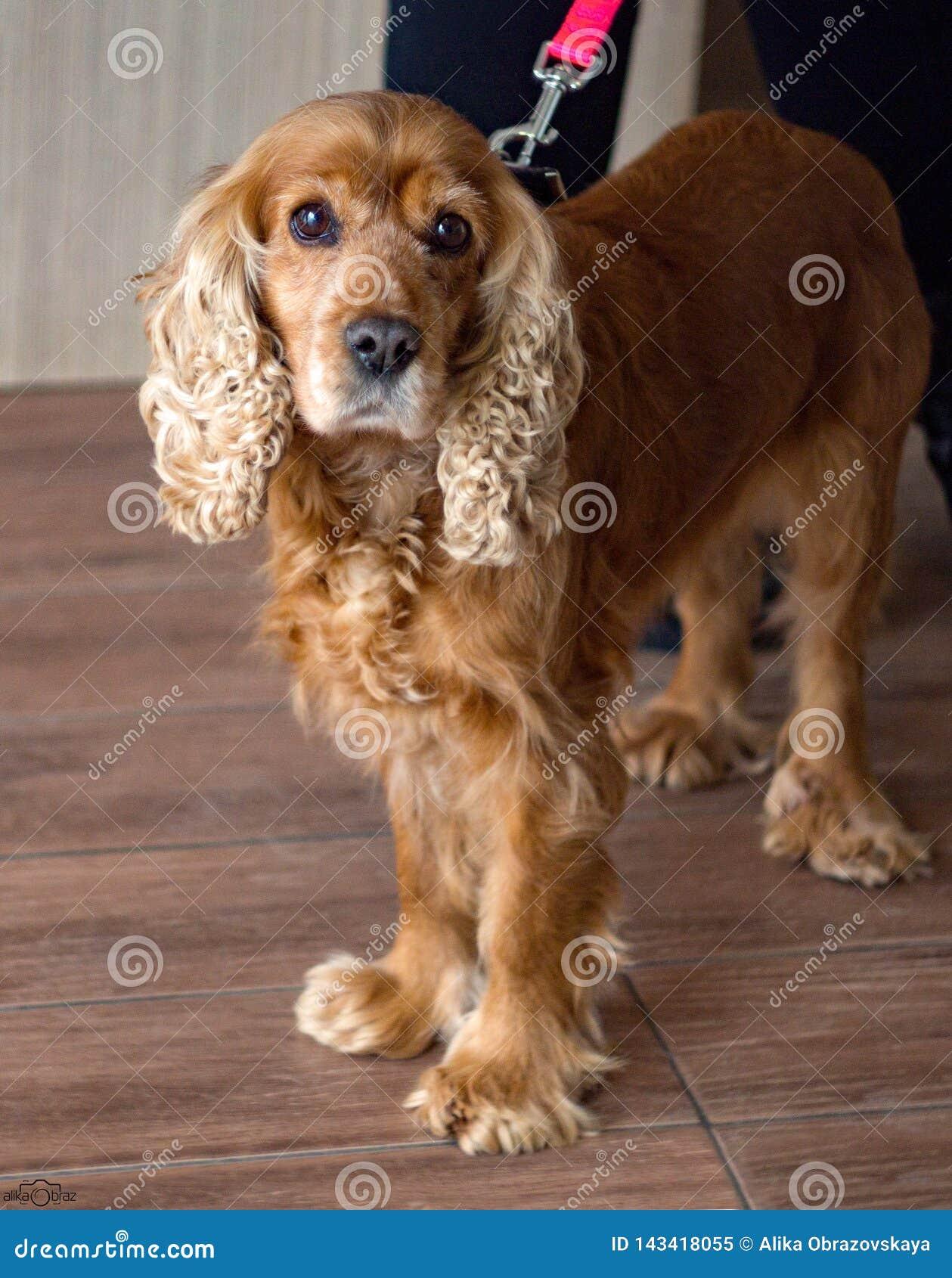 Cane dai capelli rossi cocker spaniel con gli occhi tristi e bei