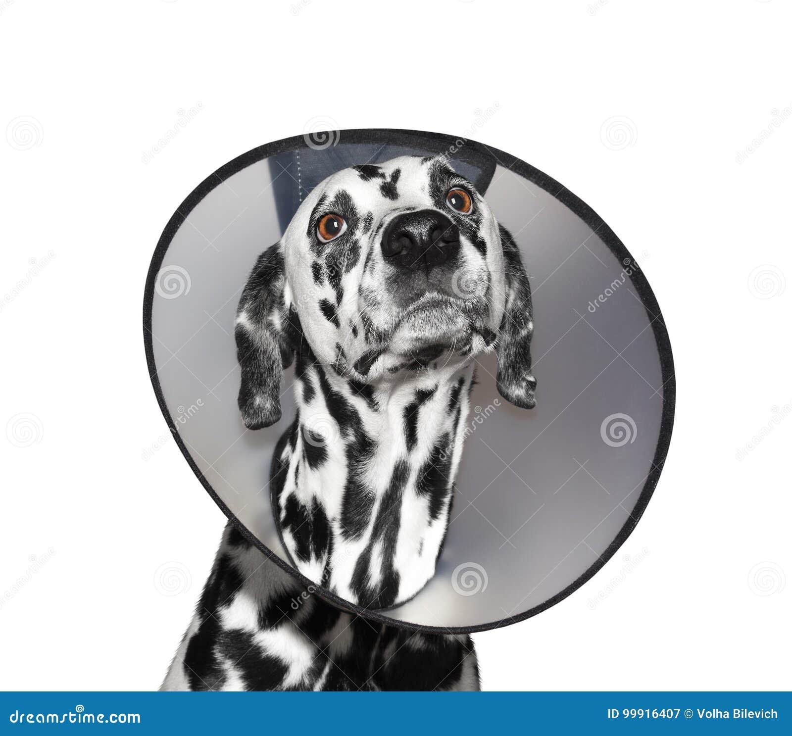 Cane dalmata malato che indossa un collare protettivo - isolato su bianco