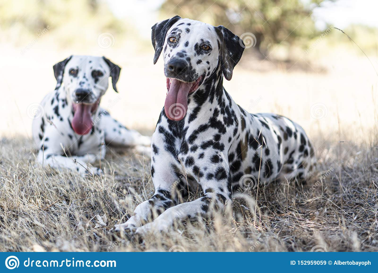 Cane dalmata nel campo felice