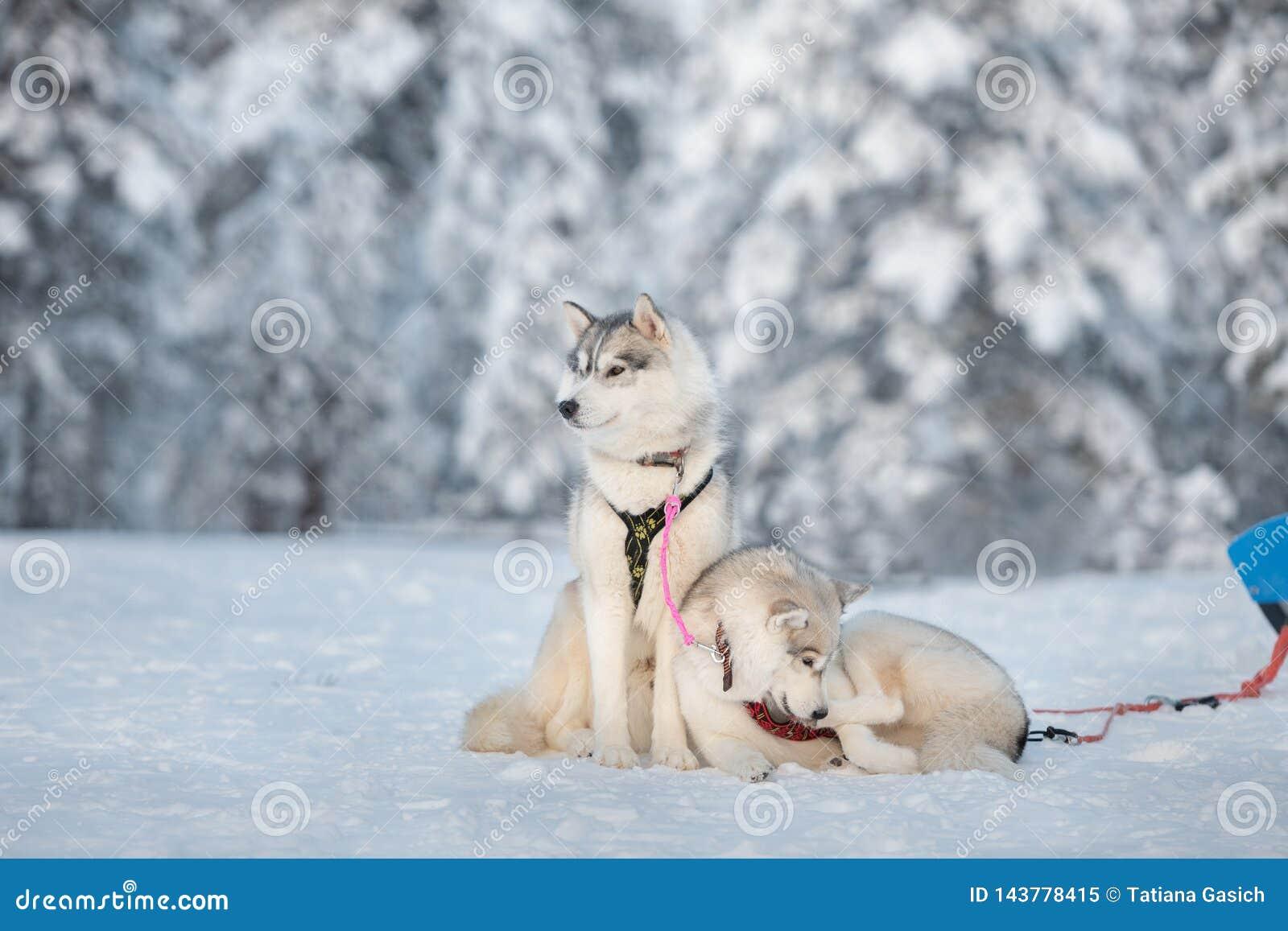 Cane dei husky siberiani che si rilassa su una neve