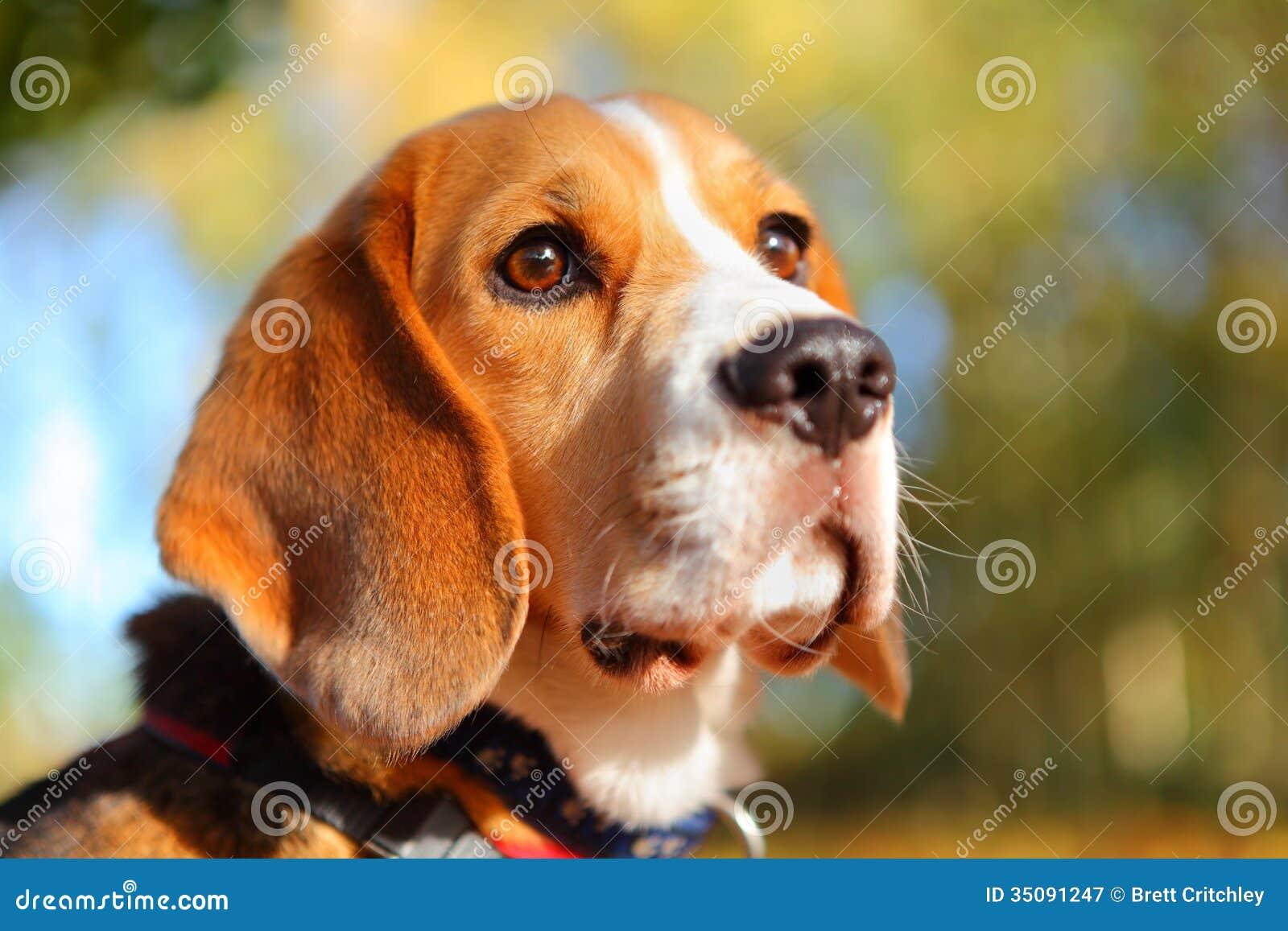 Cane del cane da lepre di caduta