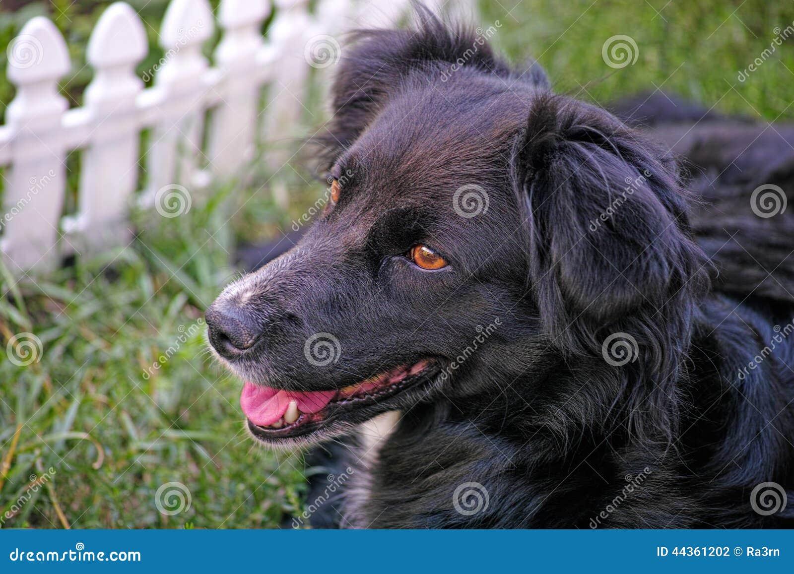 Cane del cane nero