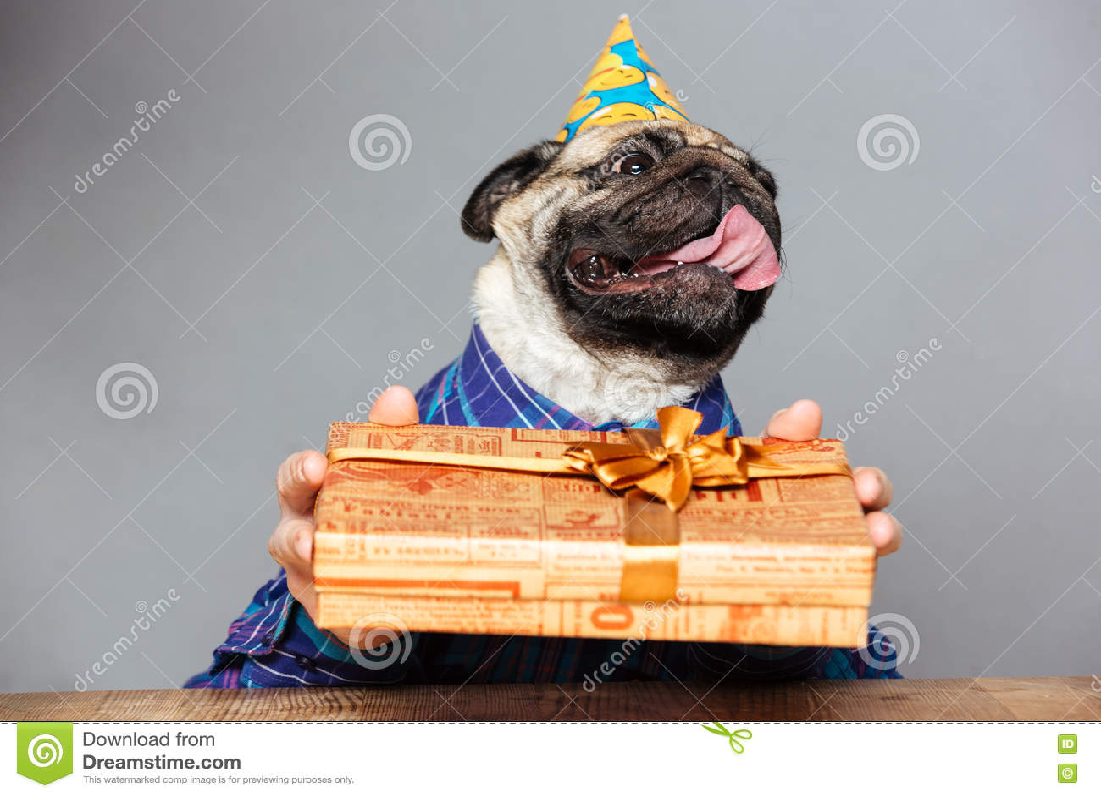 Preferenza Cane Del Carlino Con Le Mani Dell'uomo In Cappello Di Compleanno  RJ84