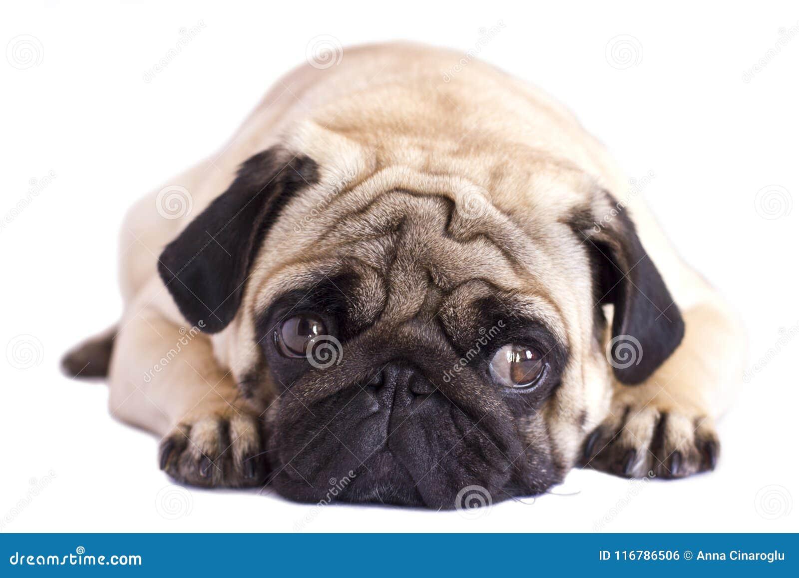 Cane del carlino isolato Sguardo triste con gli occhi grandi