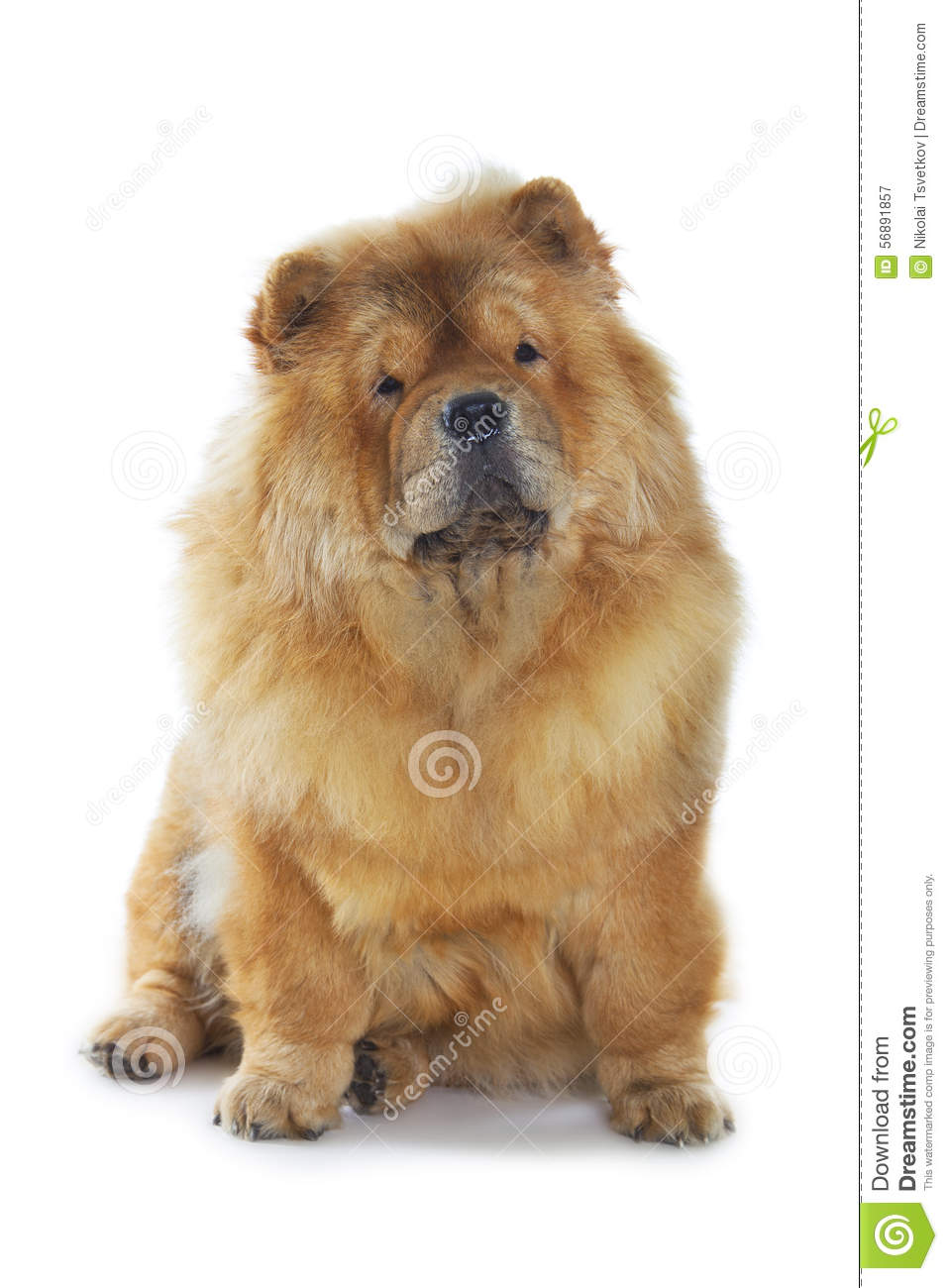 Cane del chow-chow