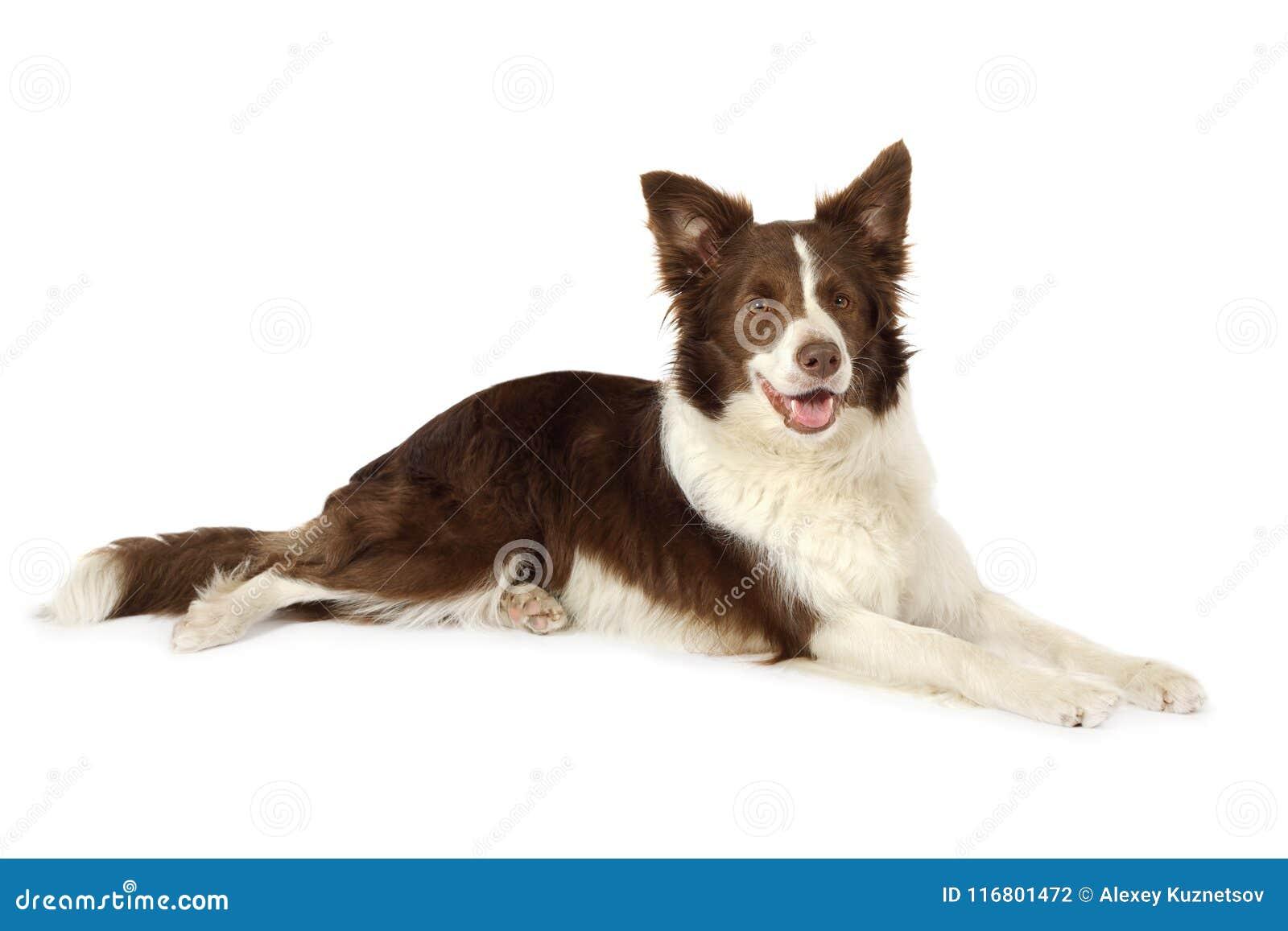 Cane del confine delle collie che si trova davanti al fondo bianco