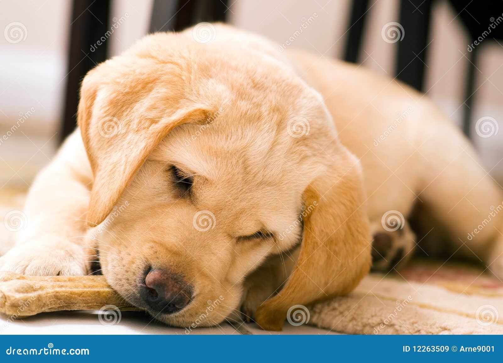 Cane del cucciolo che mangia l 39 osso del giocattolo immagine stock immagine di puppy mammifero - Cane che mangia a tavola ...