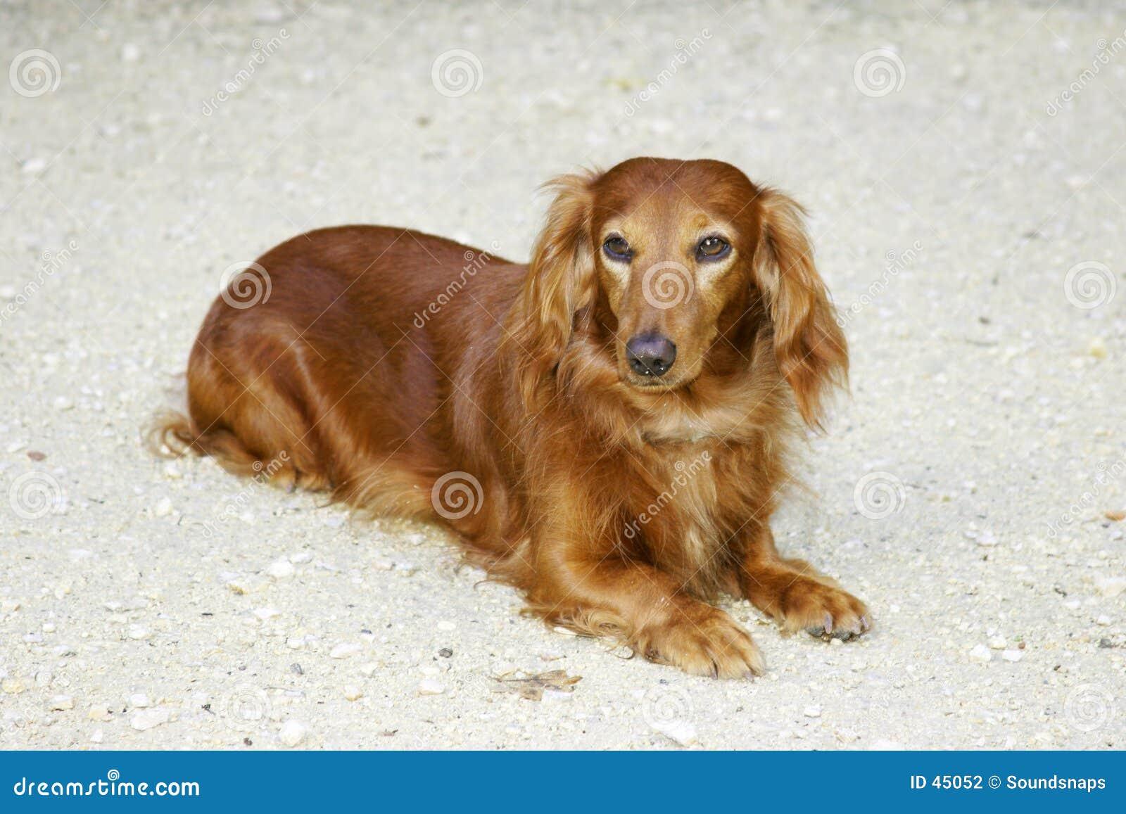 Cane del Dachsund