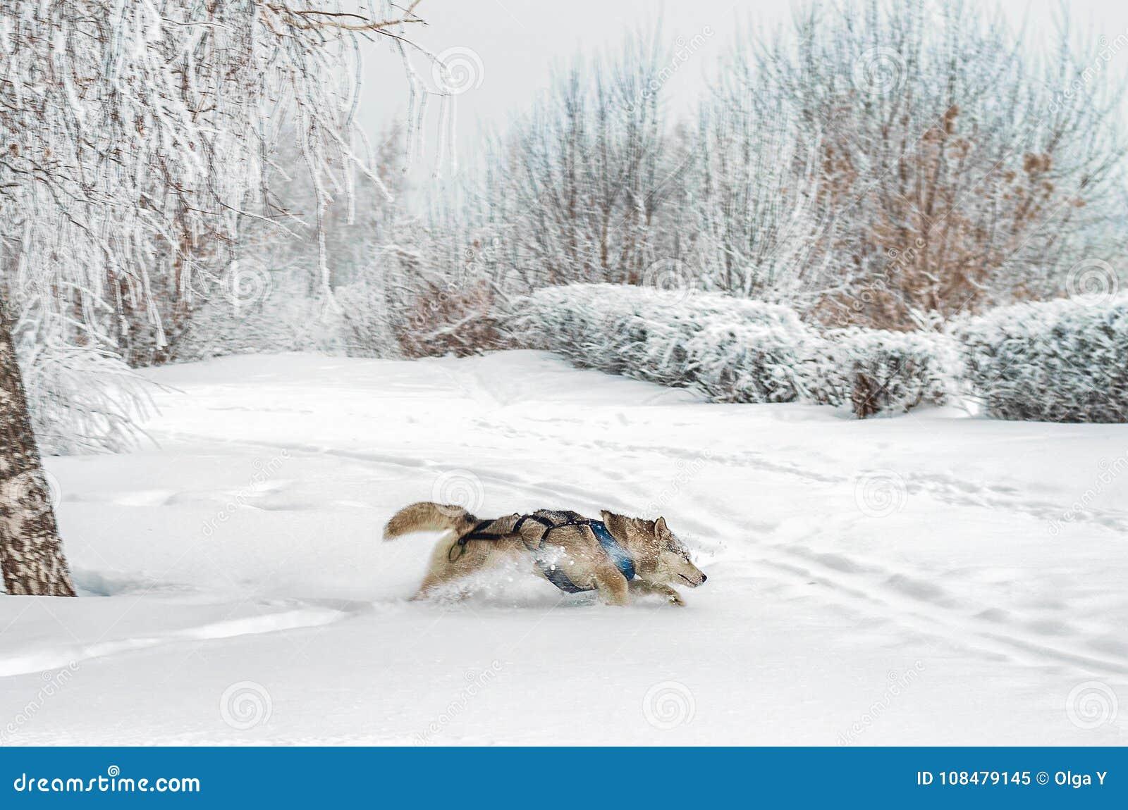 Cane del husky che passa neve profonda