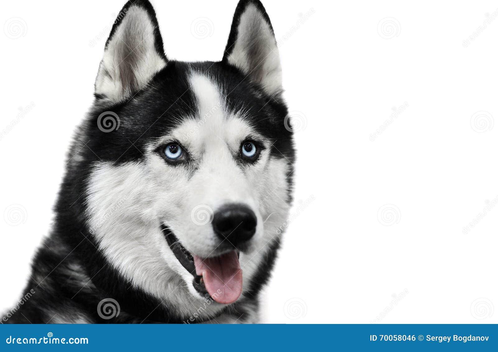 Cane del husky siberiano