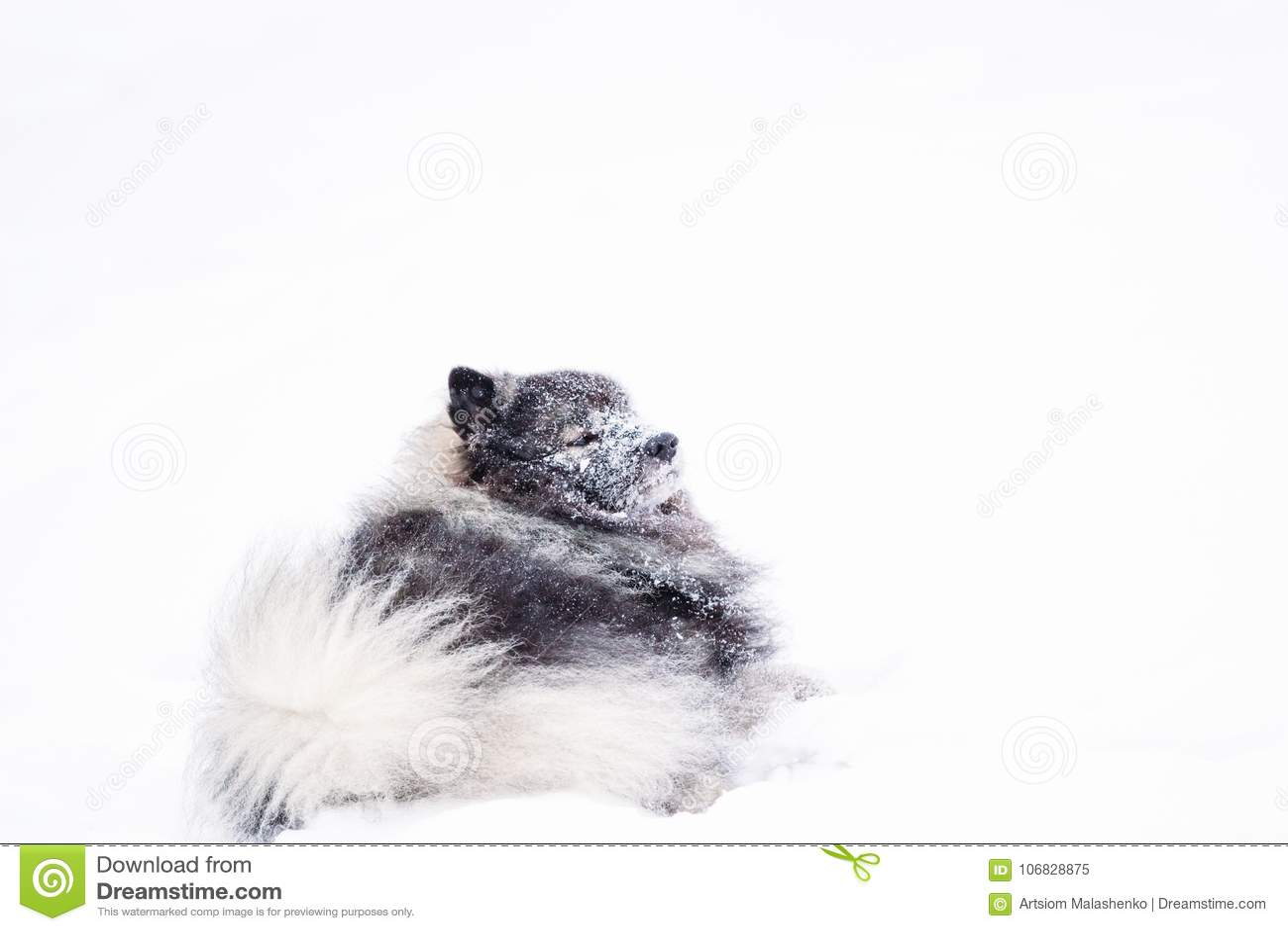 Cane del Keeshond che riposa nella neve