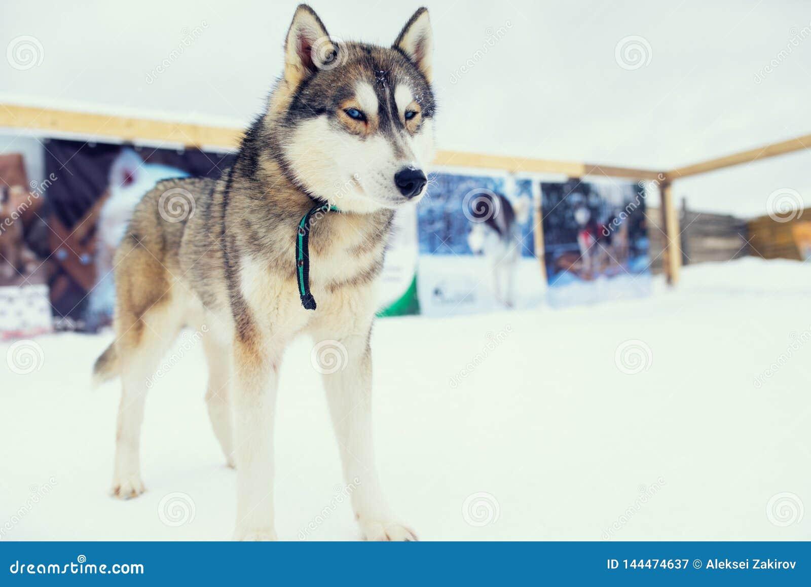 Cane del malamute del husky sul campo nevoso nella foresta di inverno