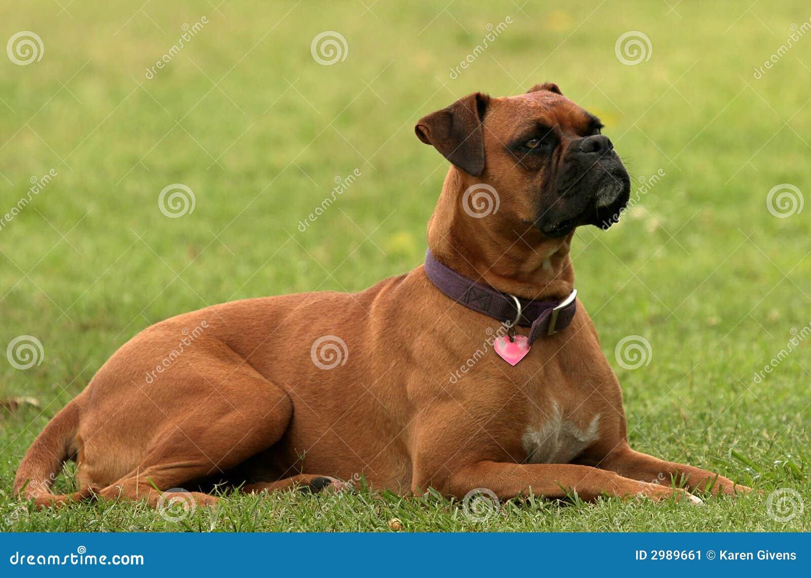 Cane del pugile