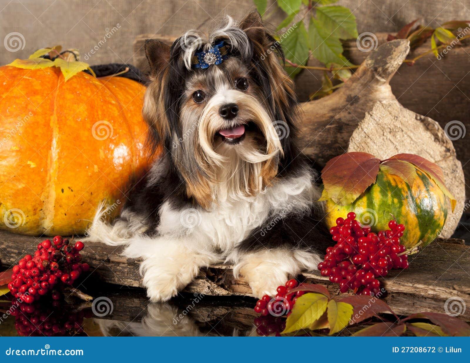 Cane del terrier di Biewer