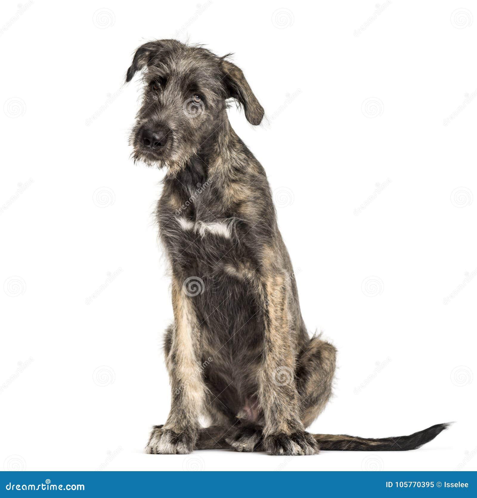 Cane Del Wolfhound Irlandese, Seduta, Isolata Immagine ...