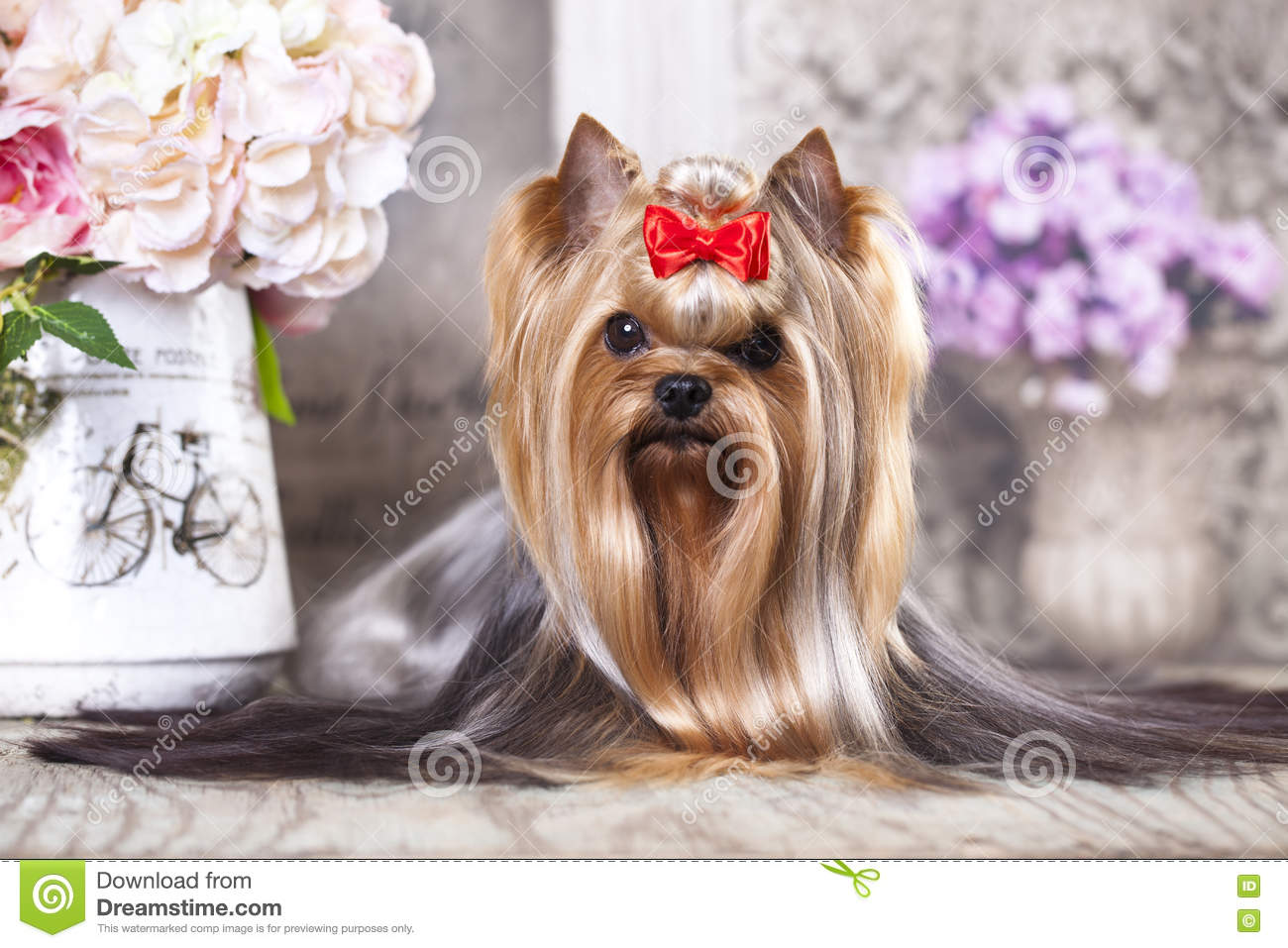 Cane dell Yorkshire terrier