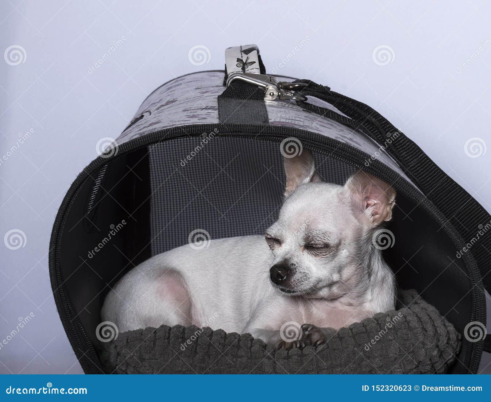 Cane della chihuahua che dorme nella cabina