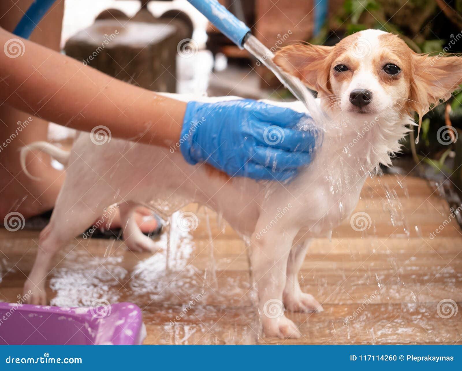 Cane della chihuahua dopo la presa della doccia a casa - Bagno cane dopo antipulci ...