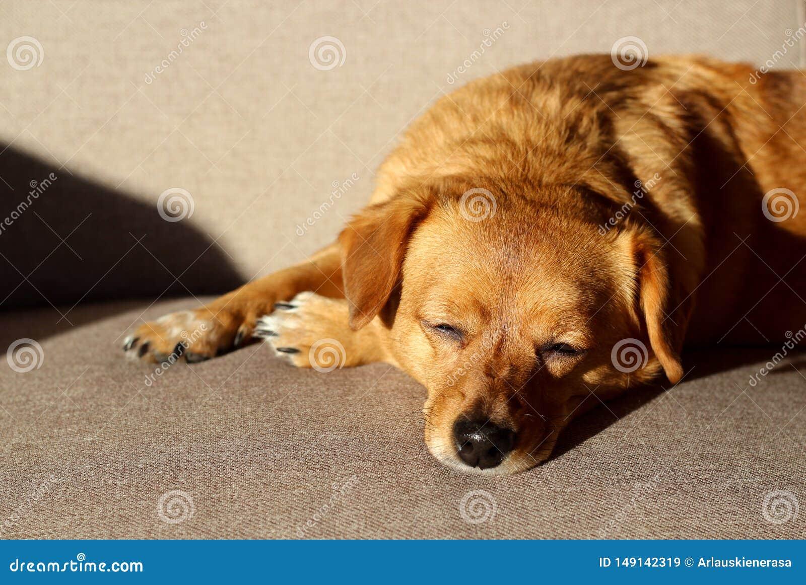Cane di Brown che dorme su uno strato