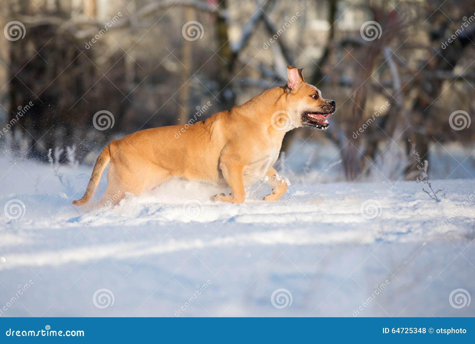 Cane di Ca de bou all aperto nell inverno