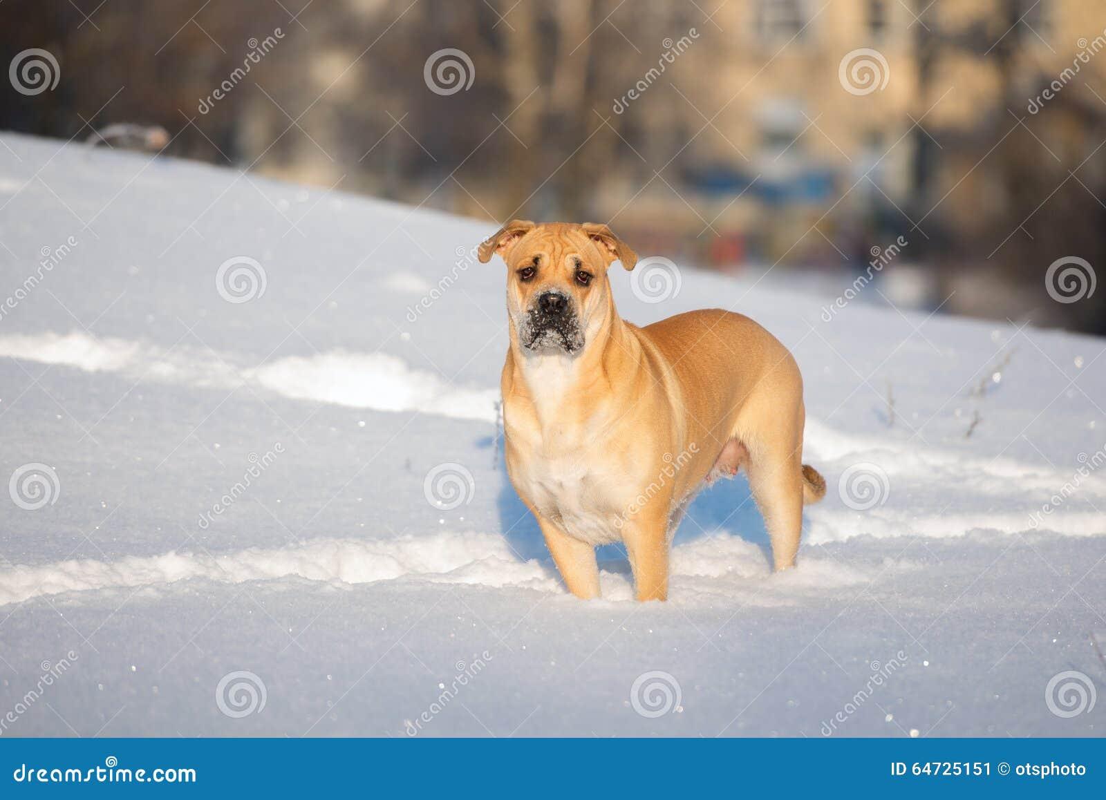 Cane di Ca de bou che sta all aperto nell inverno