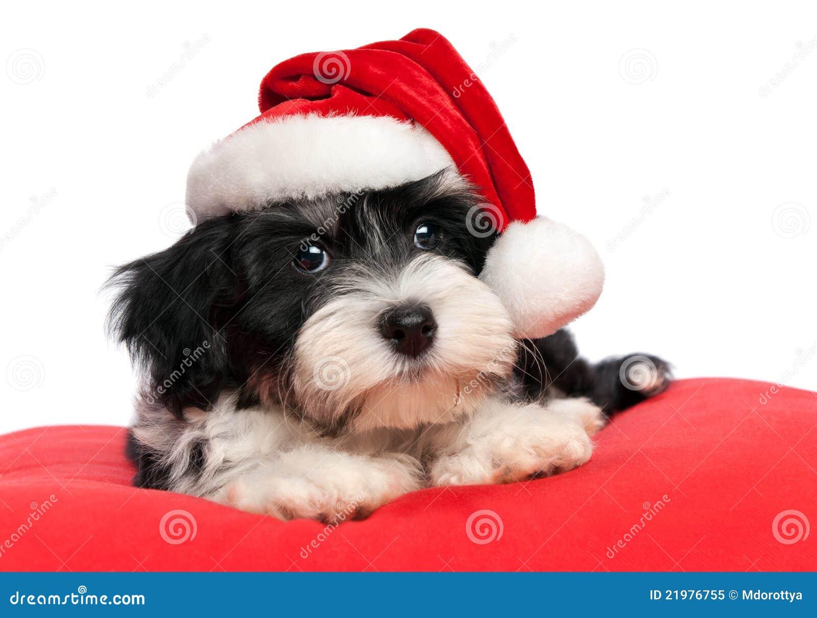 Foto Carine Di Natale.Cane Di Cucciolo Havanese Di Natale Sveglio Immagine Stock