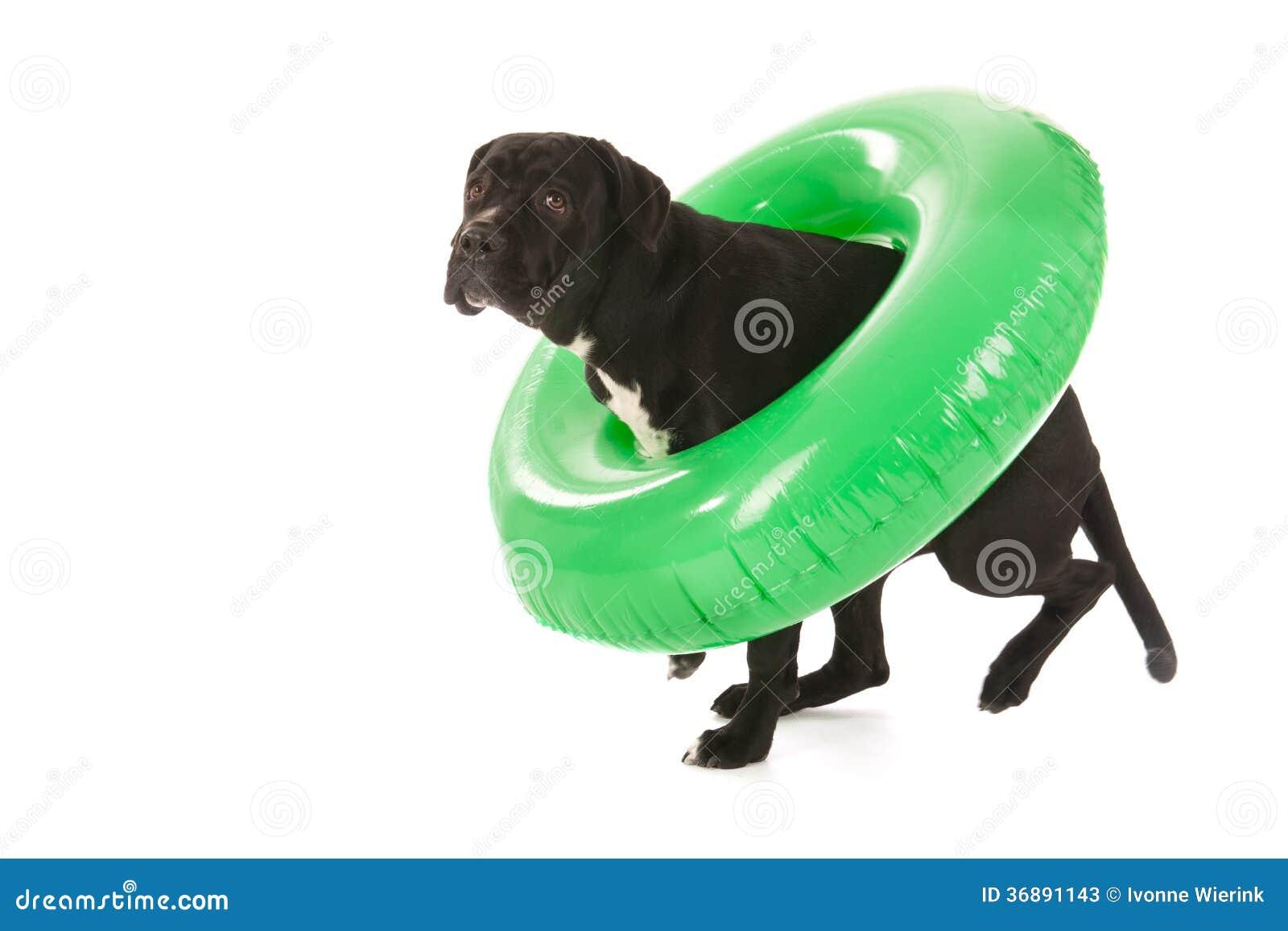 Download Cane Di Estate Con Il Giocattolo Di Nuoto Immagine Stock - Immagine di galleggiante, sunbathing: 36891143