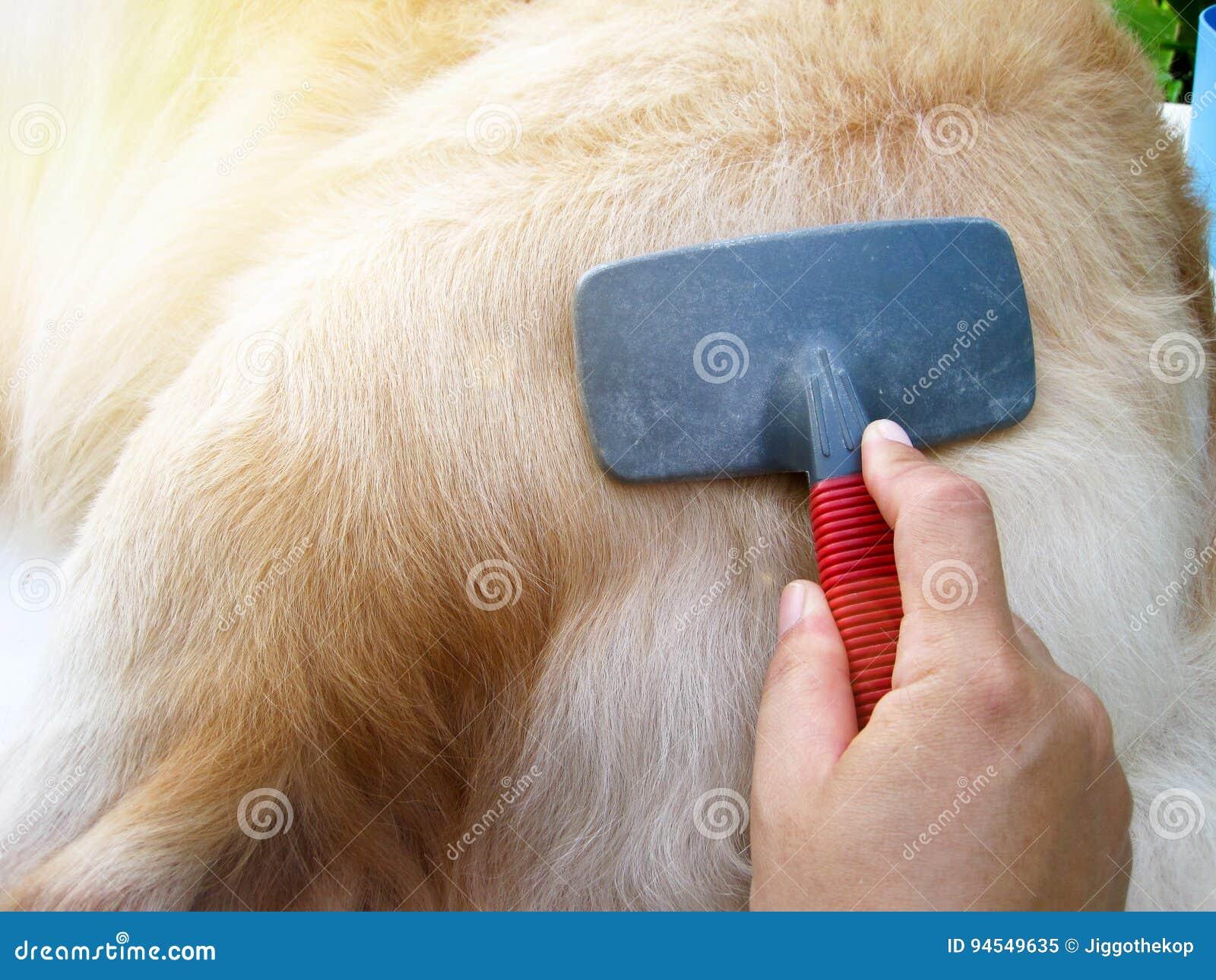 Cane di golden retriever che ottiene cura di peli