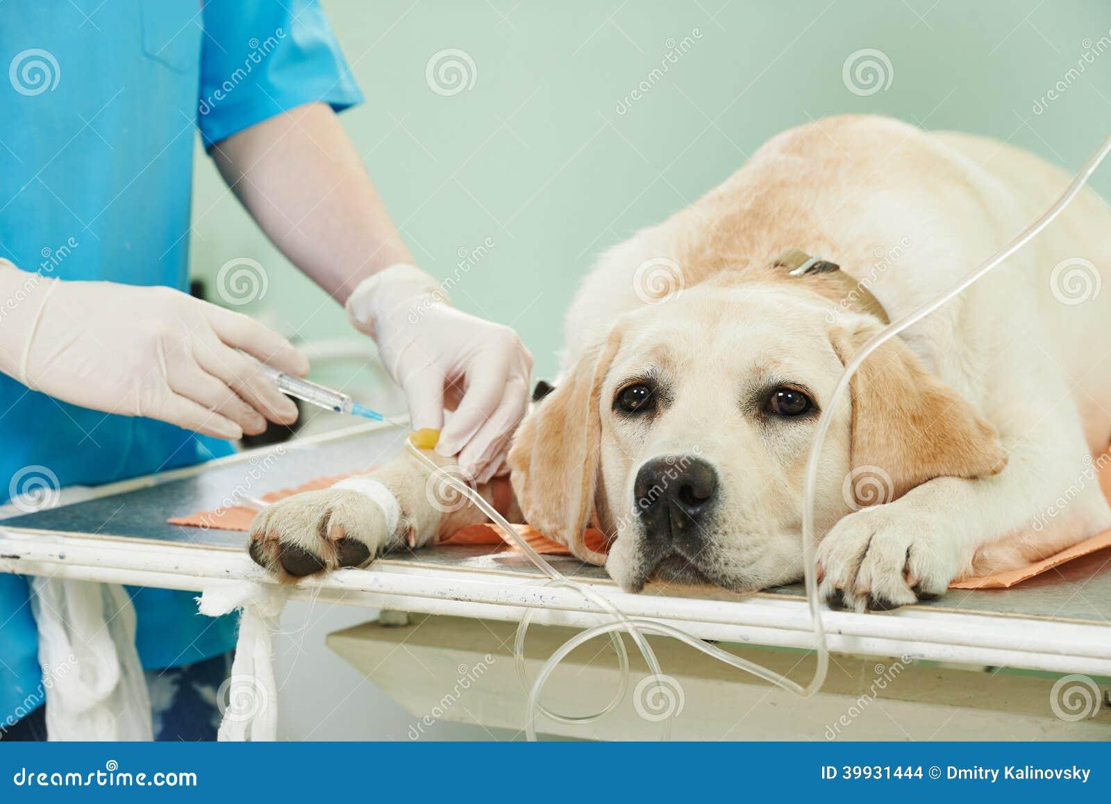 Cane di Ladrador nell ambito della vaccinazione in clinica