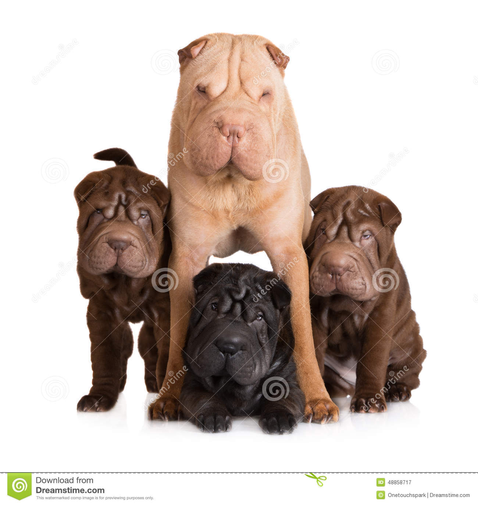 Cane di pei di Shar con i suoi cuccioli
