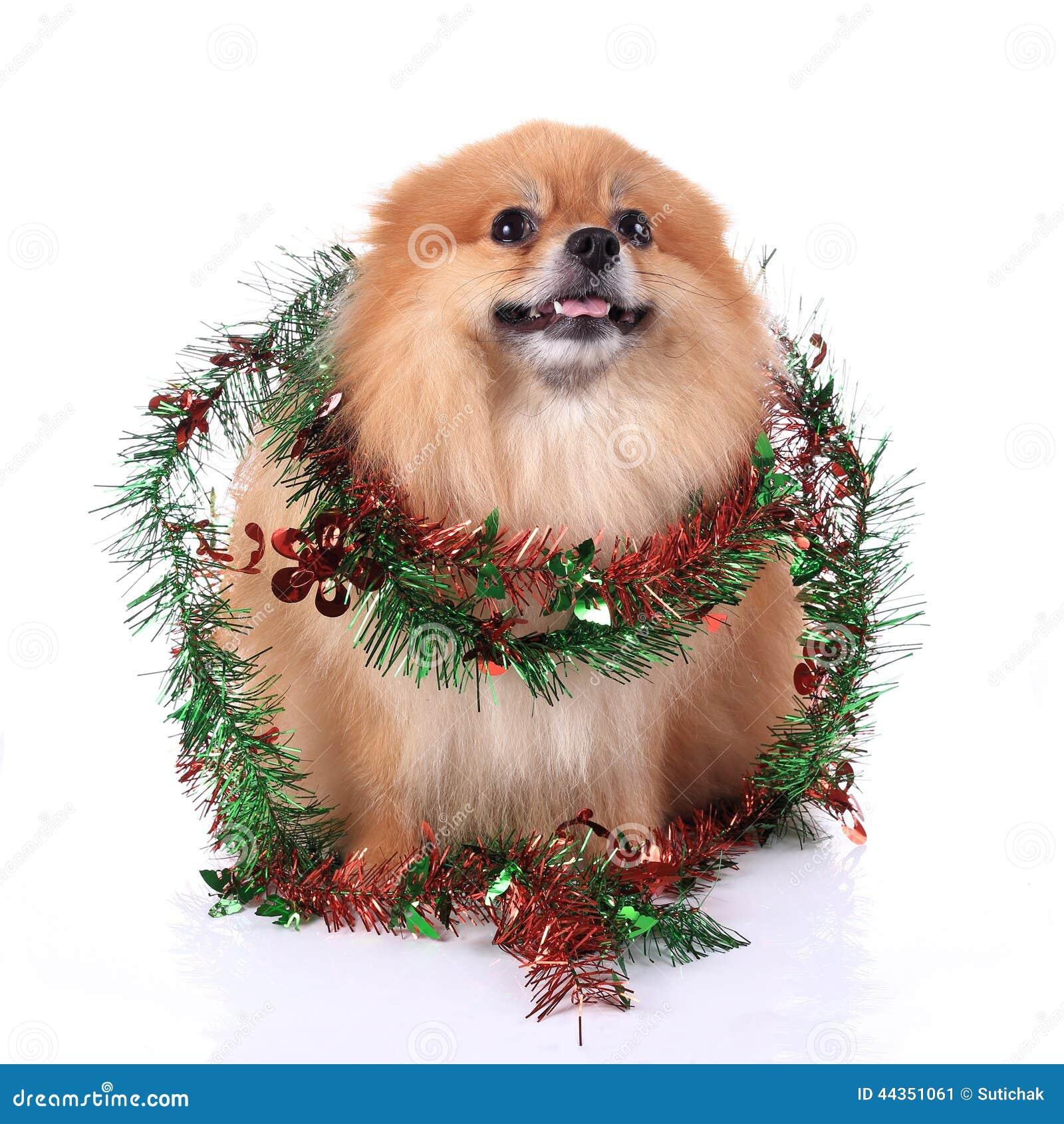 Cane di Pomeranian su fondo bianco