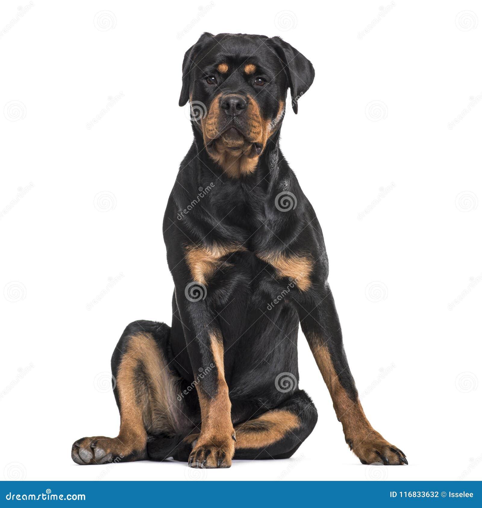 Cane di Rottweiler che si siede contro il fondo bianco