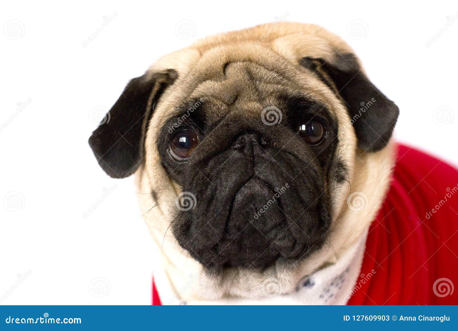 Cane Di Seduta Molto Sveglio Del Carlino In Un Vestito Rosso Dal