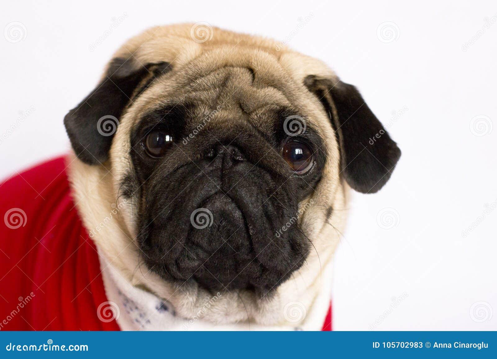 Cane Di Seduta Molto Sveglio Del Carlino In Un Vestito Rosso Dal S