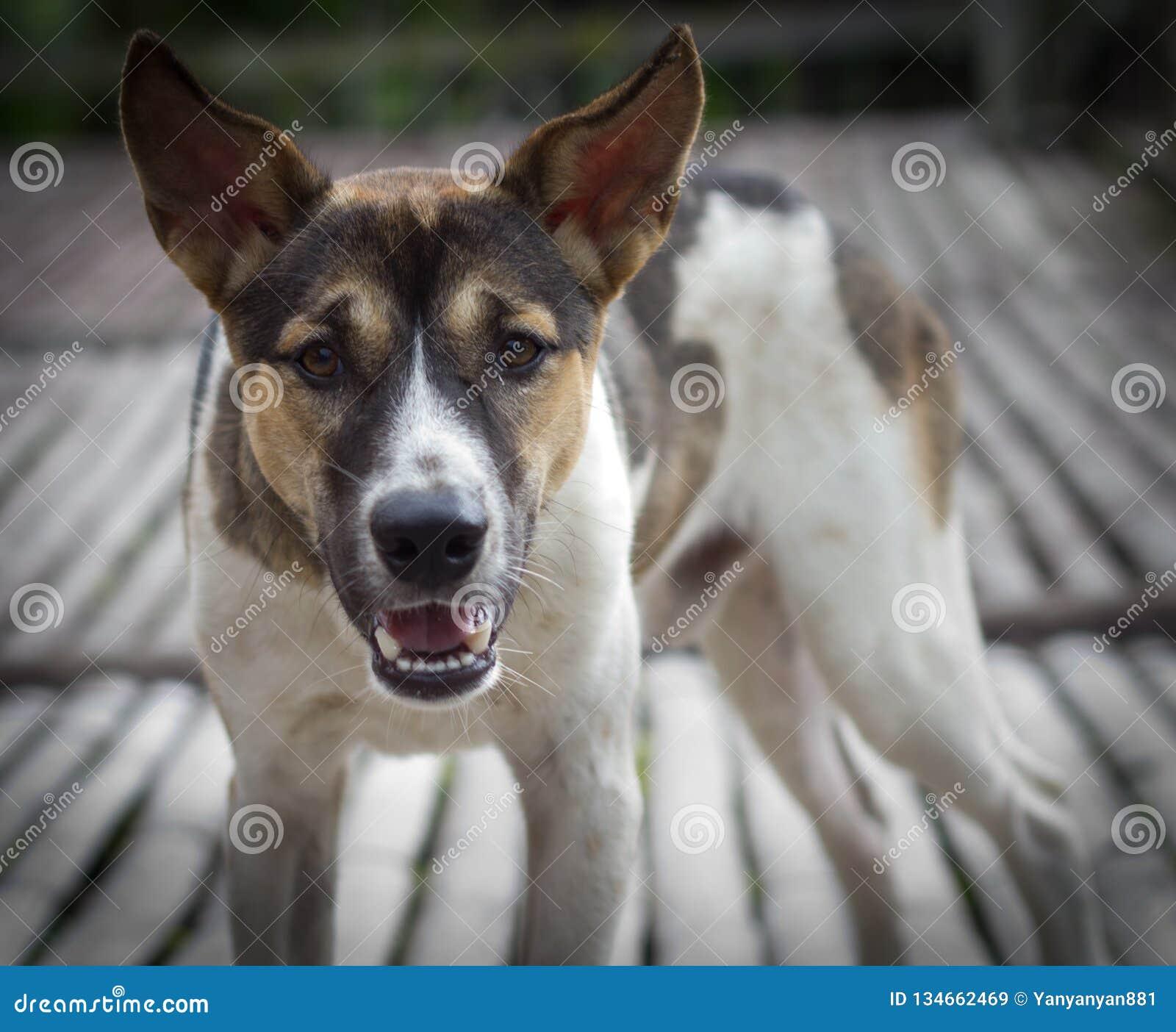 Cane di sguardo aggressivo