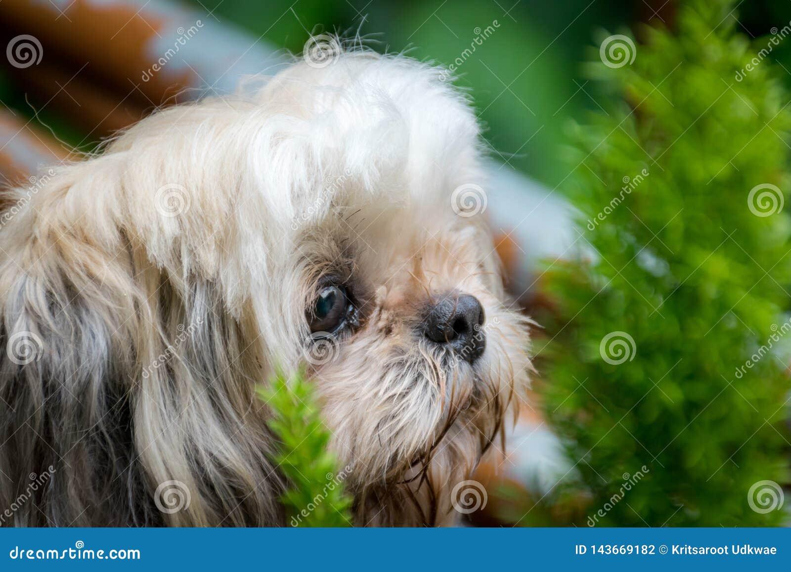 Cane di Shih-Tzu con poco albero nel fondo