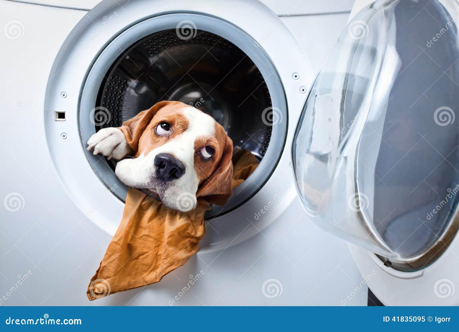 Cane dopo avere lavato fotografia stock immagine 41835095 - Bagno cane dopo antipulci ...