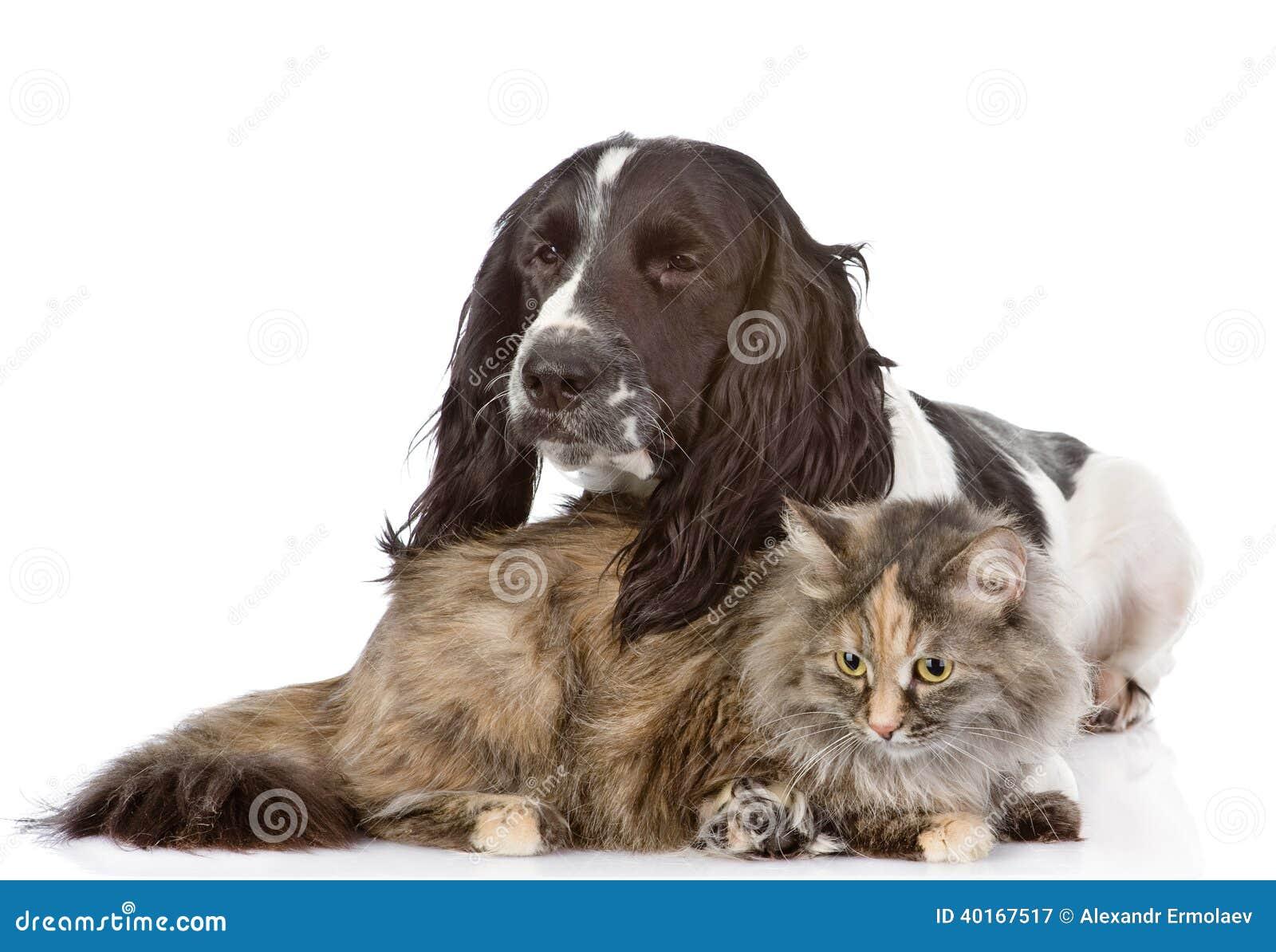 Cane e gatto di cocker spaniel di inglese