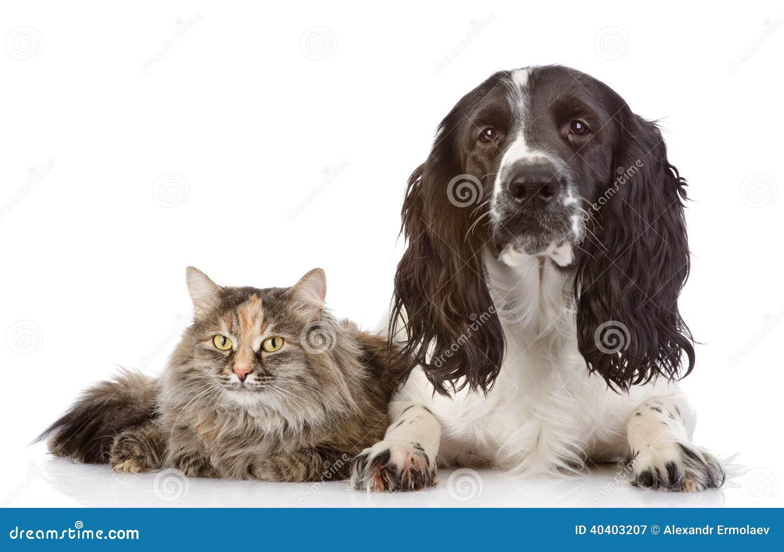 Cane e gatto di cocker spaniel di inglese insieme.